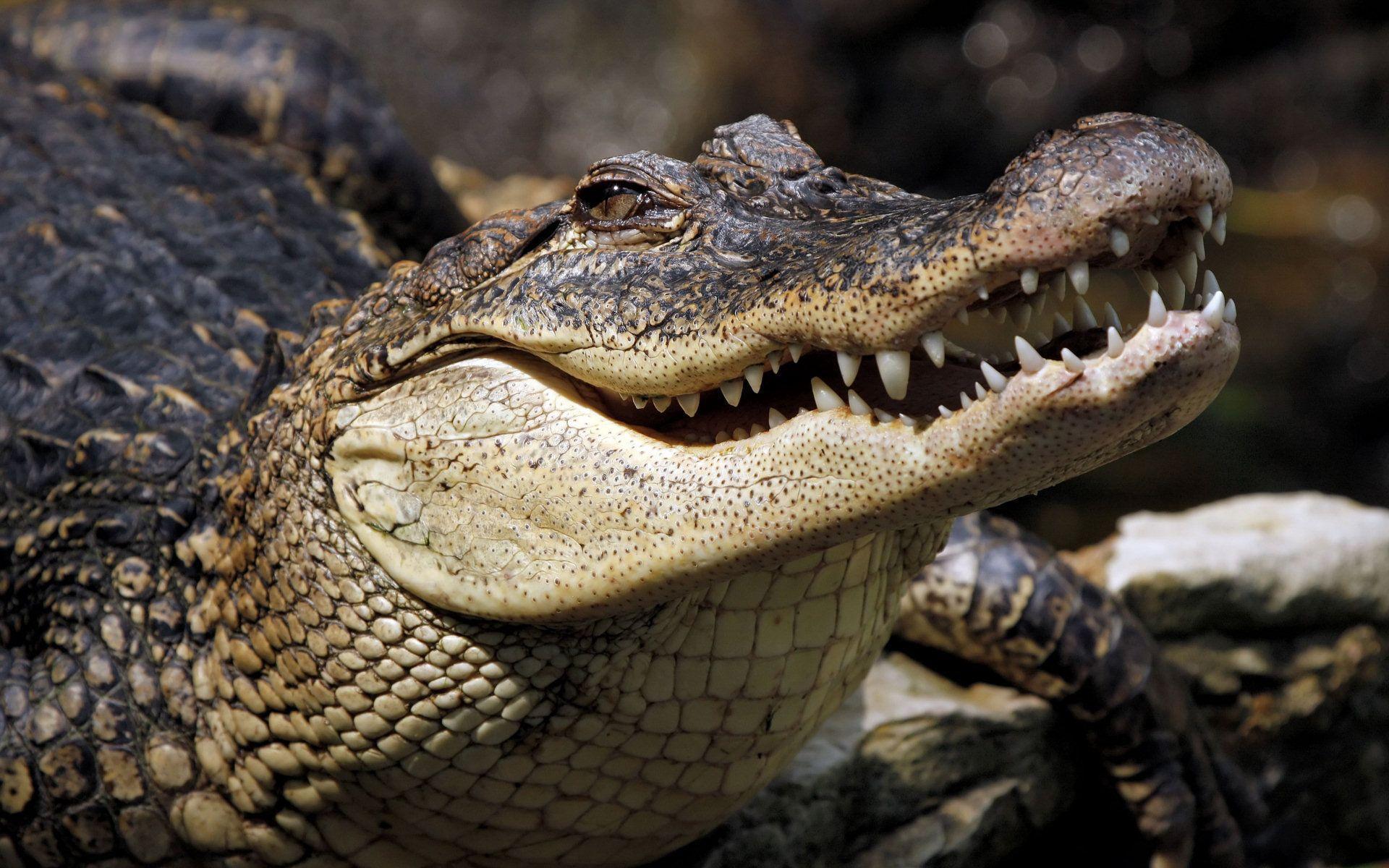 crocodile picturs