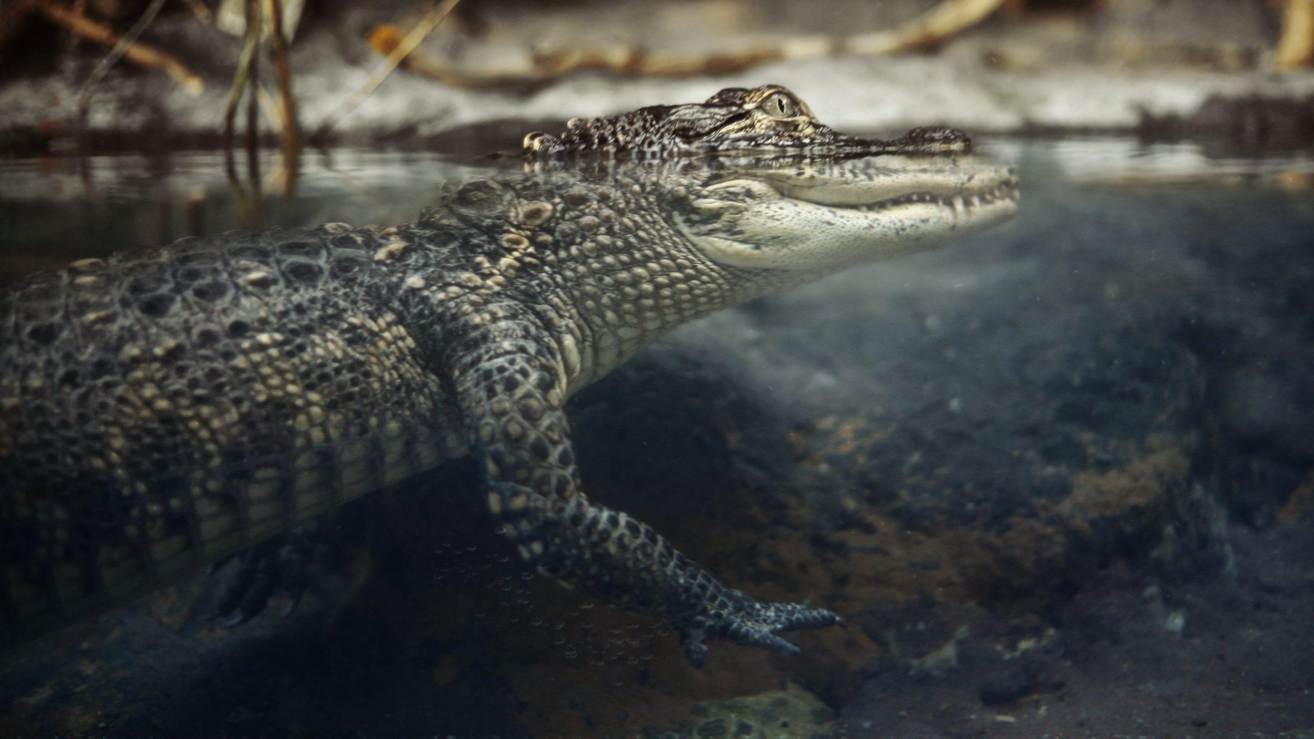 crocodiles photo