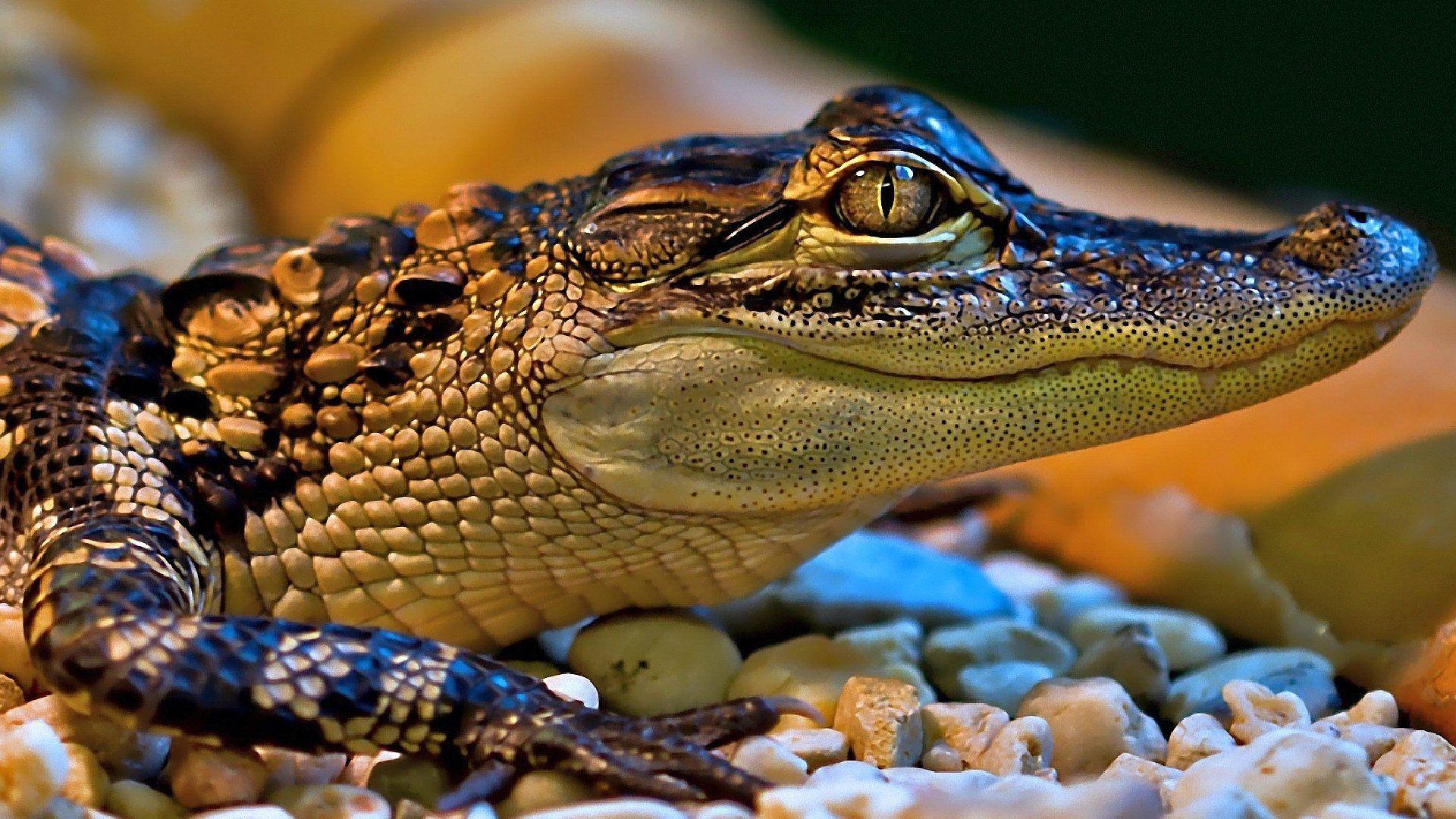 pics of crocodile