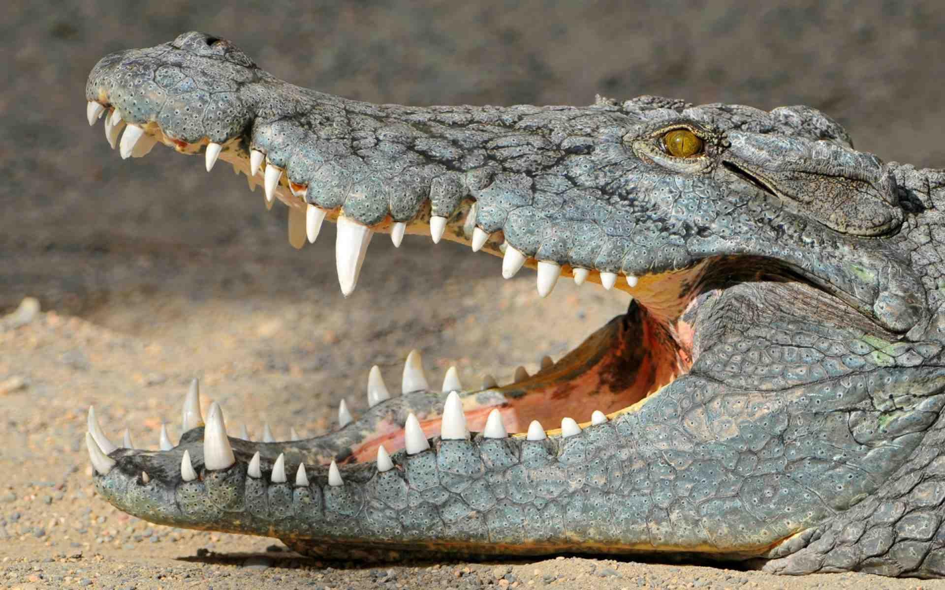 crocodile background
