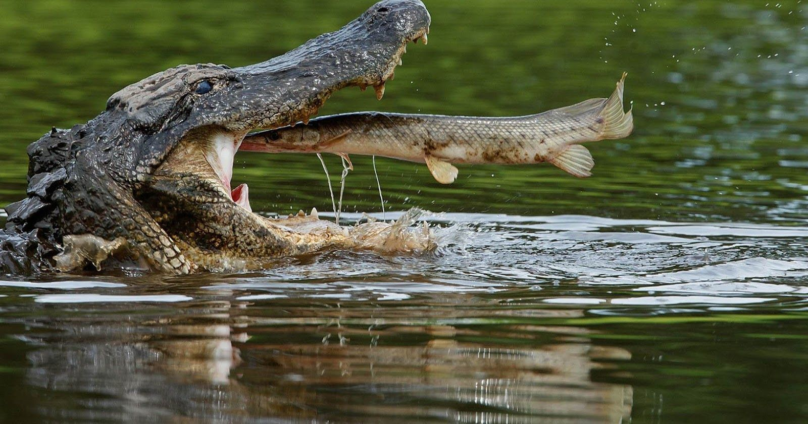 pictures of a crocodile download free