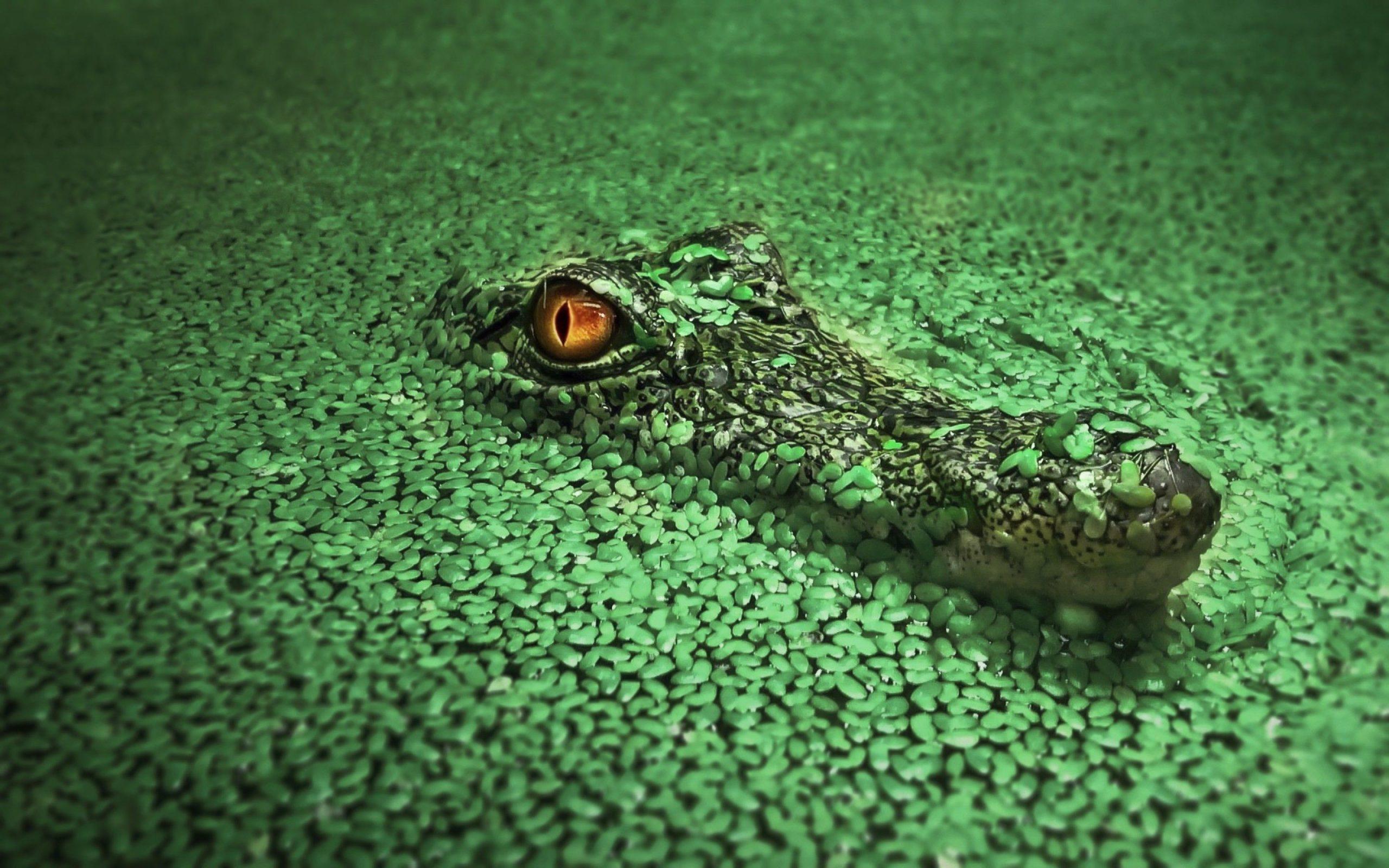 show me a picture of a crocodile