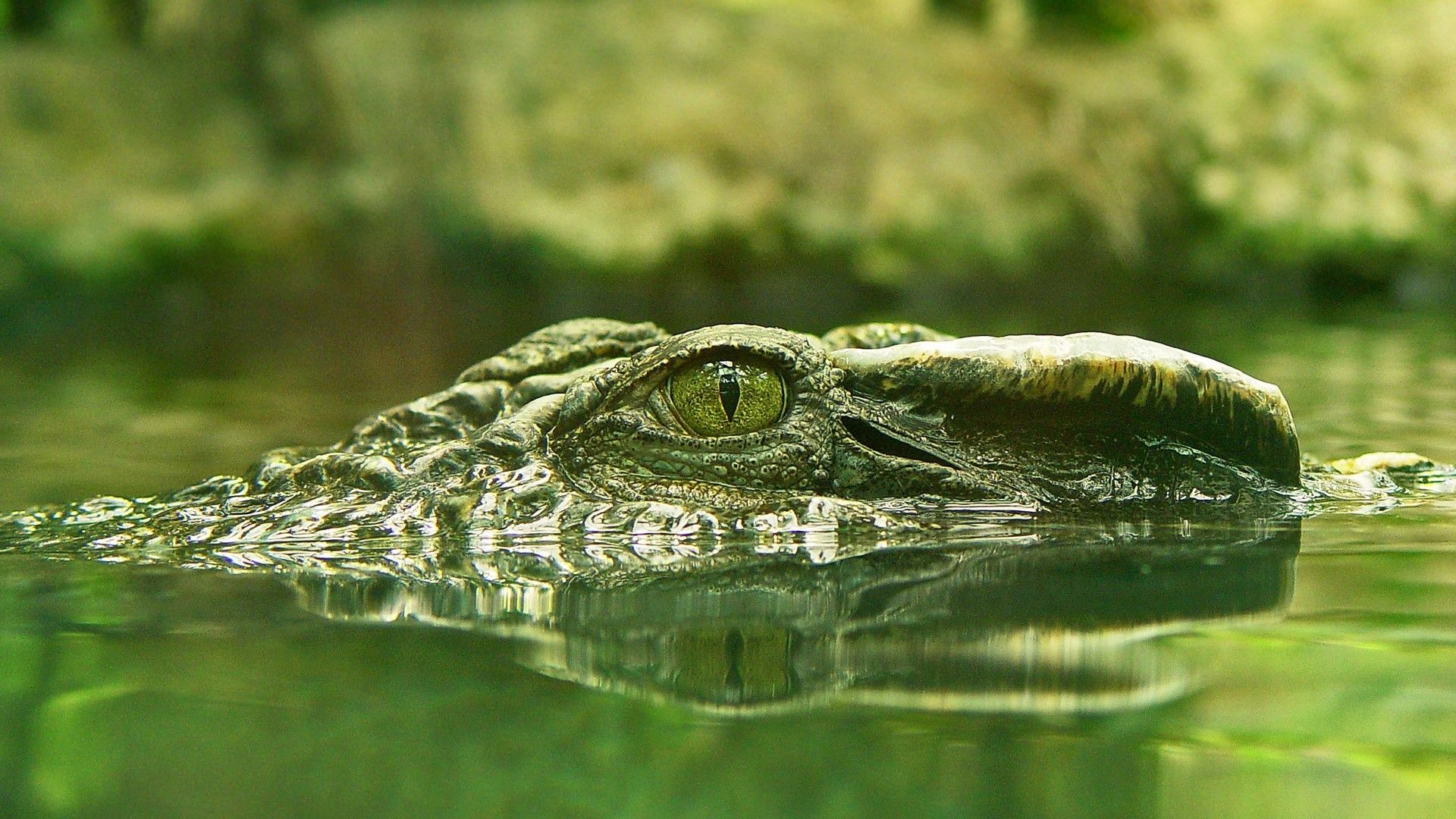 crocodile wallpaper hd