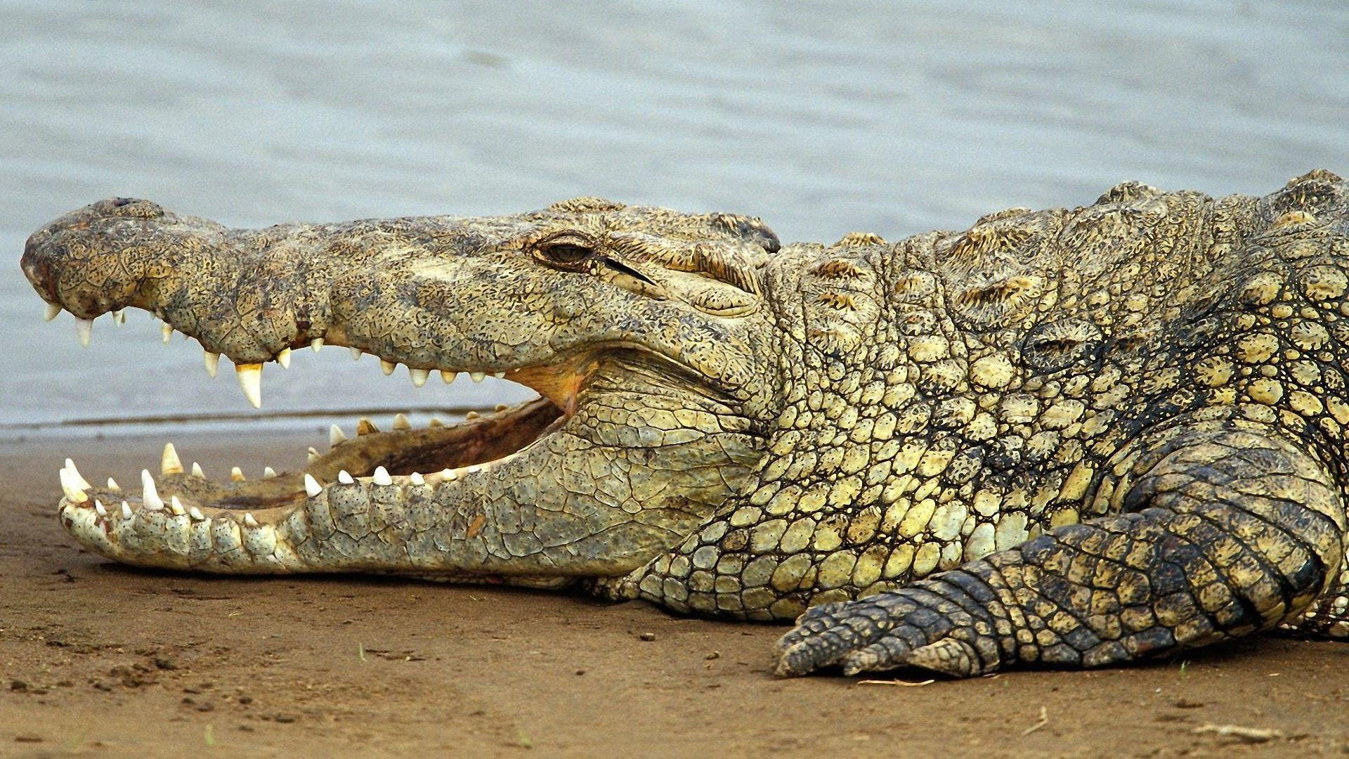 crocodiles and alligators pictures