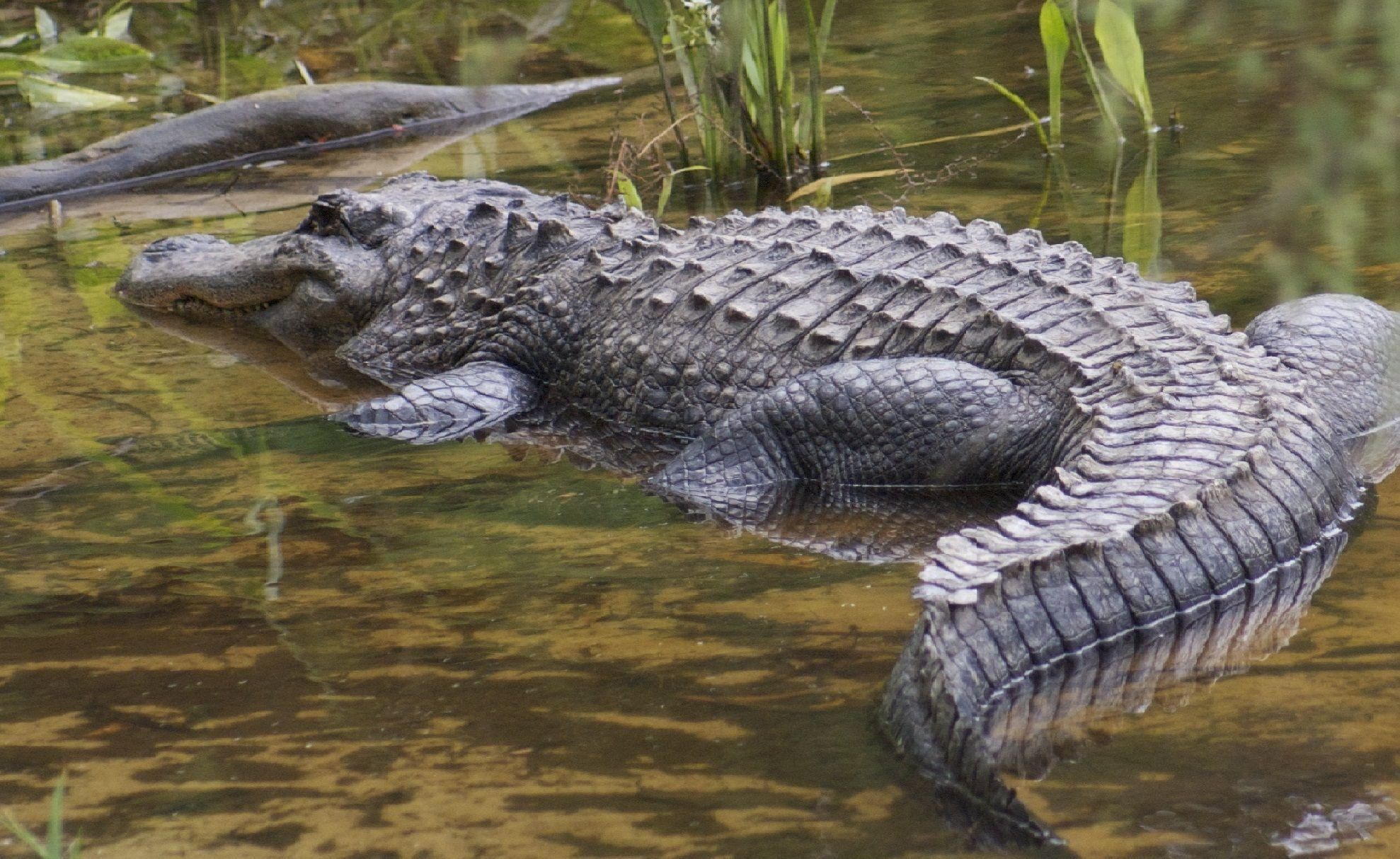 pictures of the biggest crocodile in the world