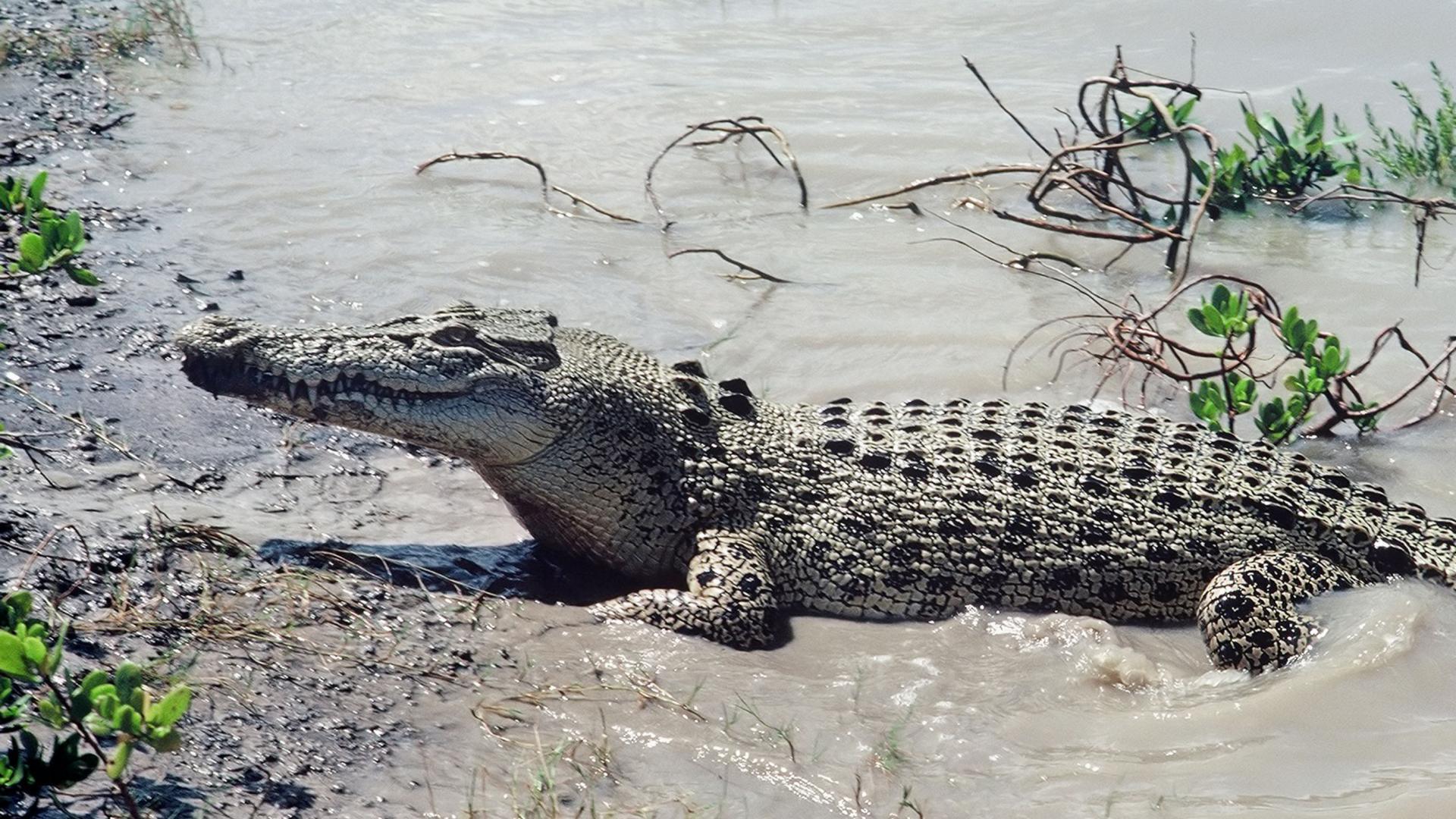 black crocodile wallpaper