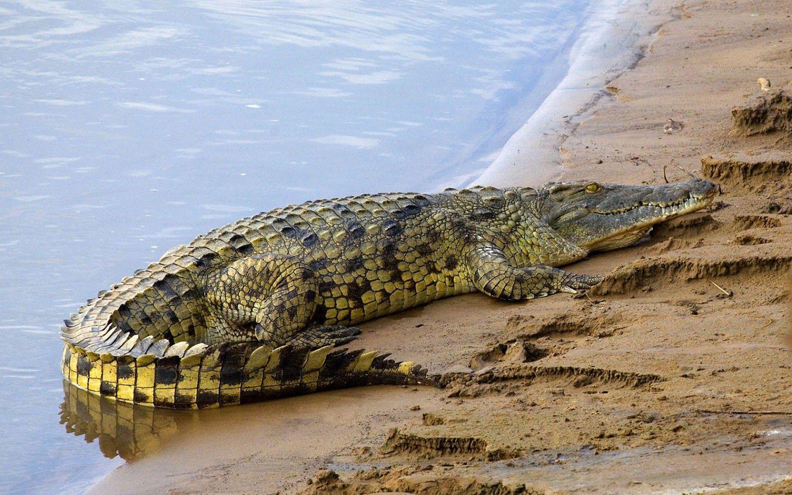 black alligator wallpaper hd