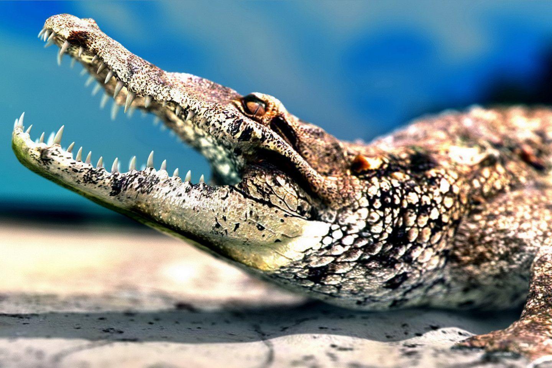 pictures of big alligators