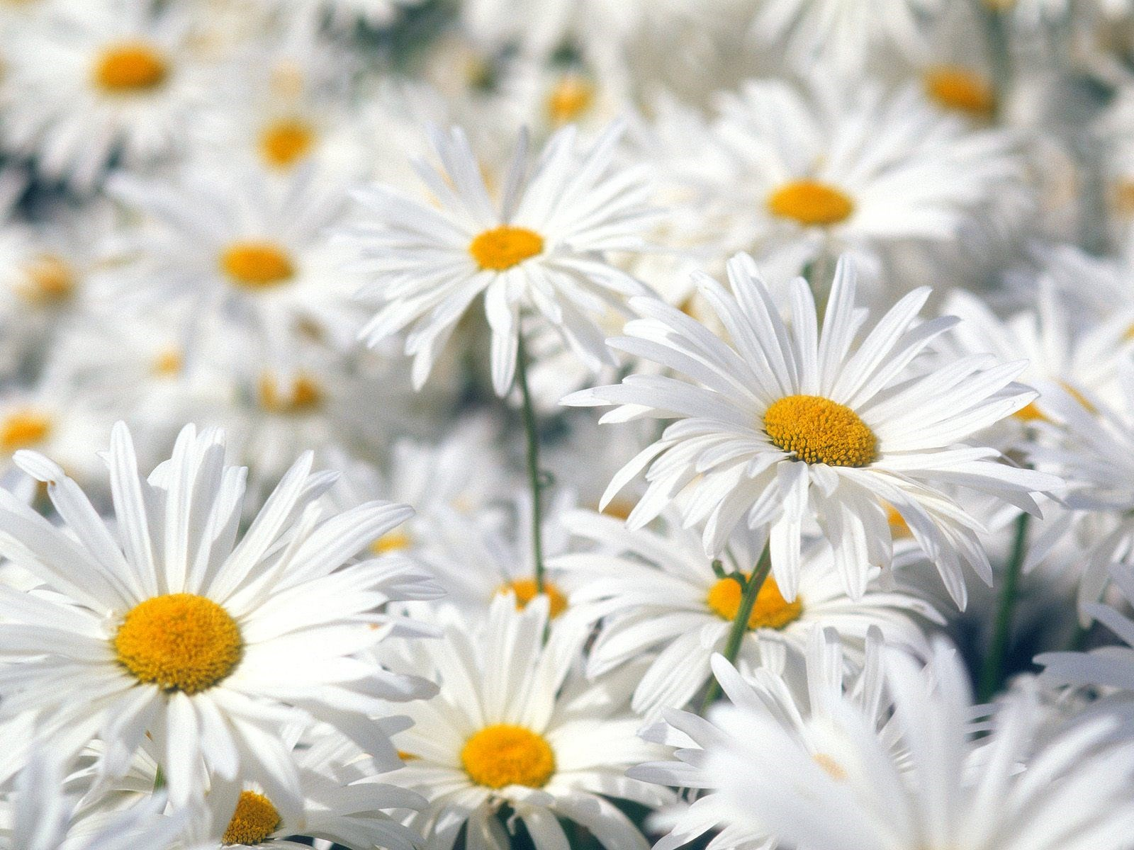 pic of daisy flower