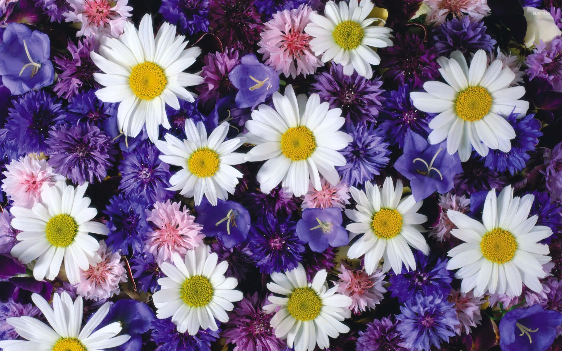 pictures of white and blue daisies