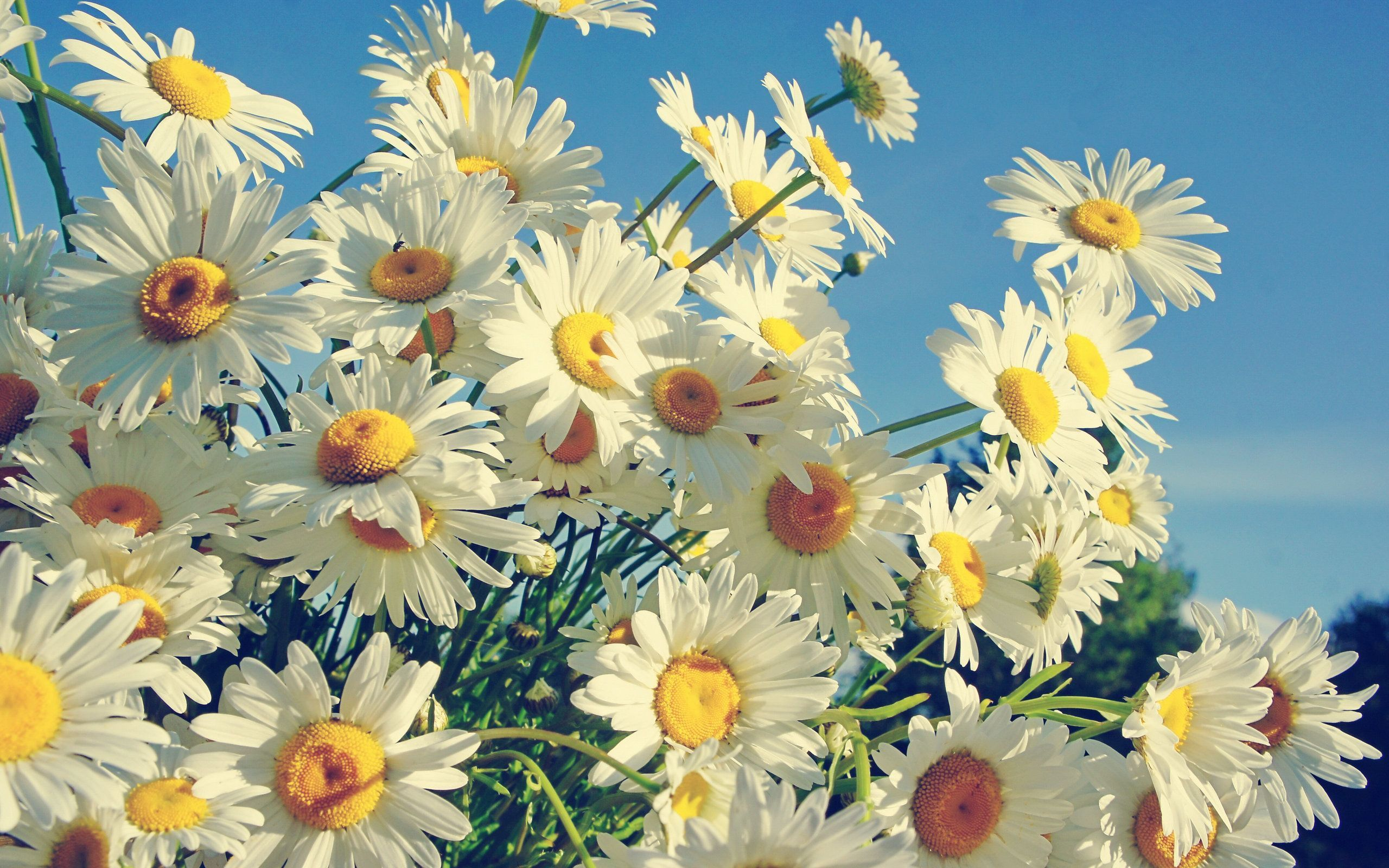 daisy images free