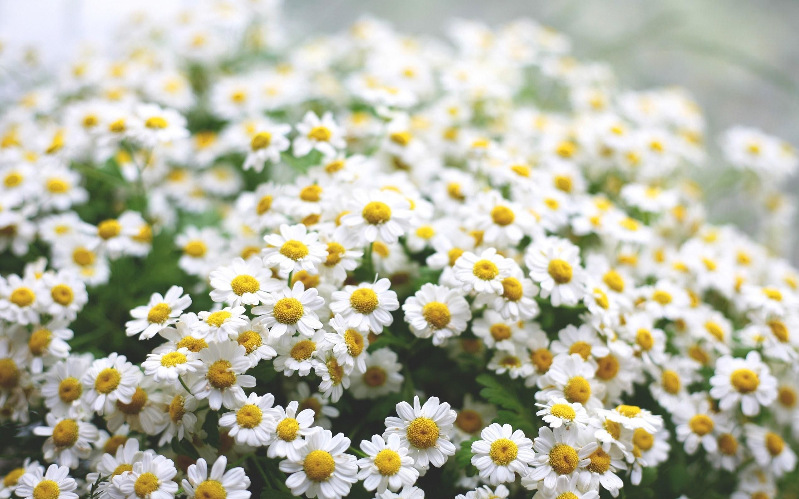 beautiful daisies flowers images