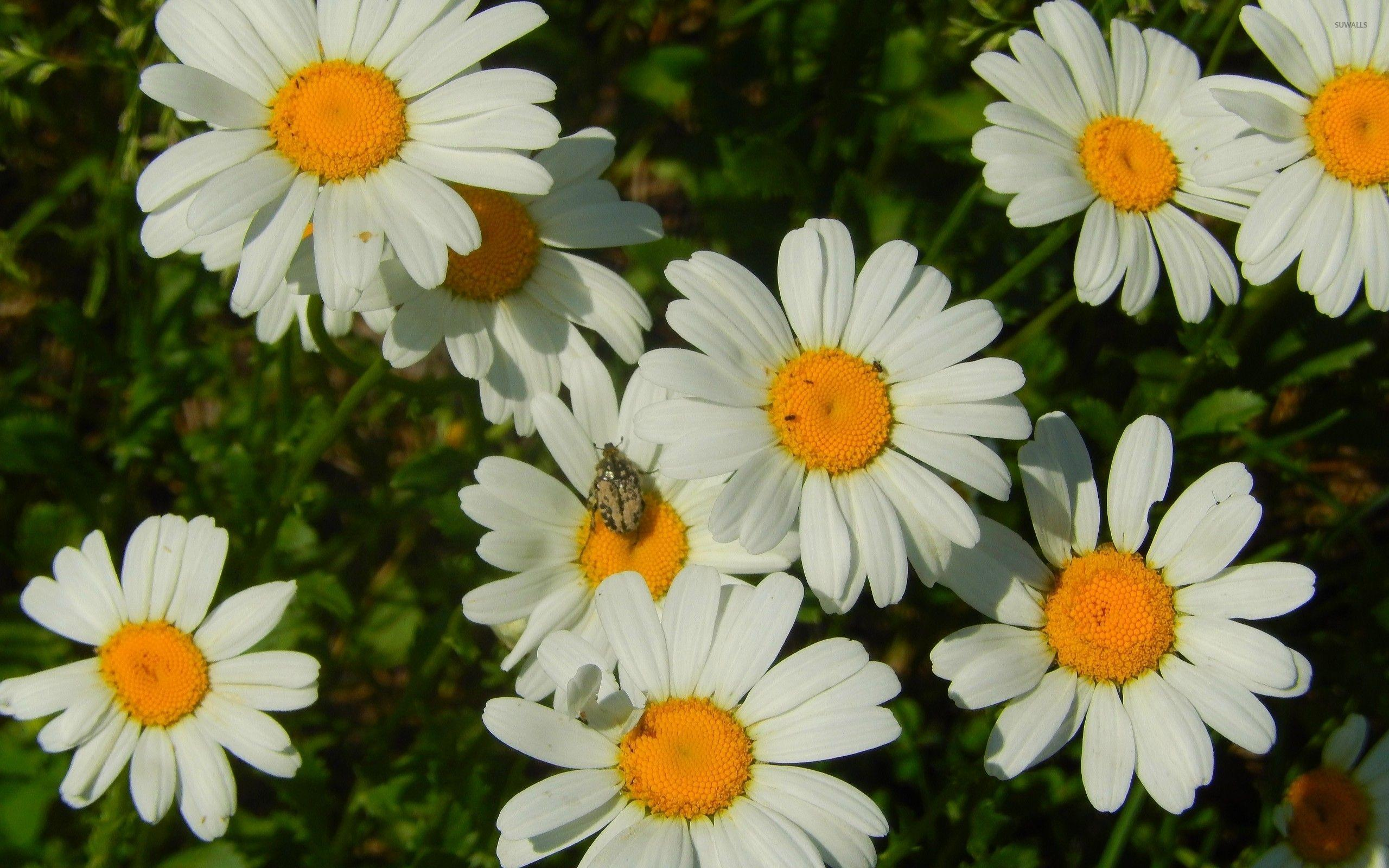 daisy flowers images