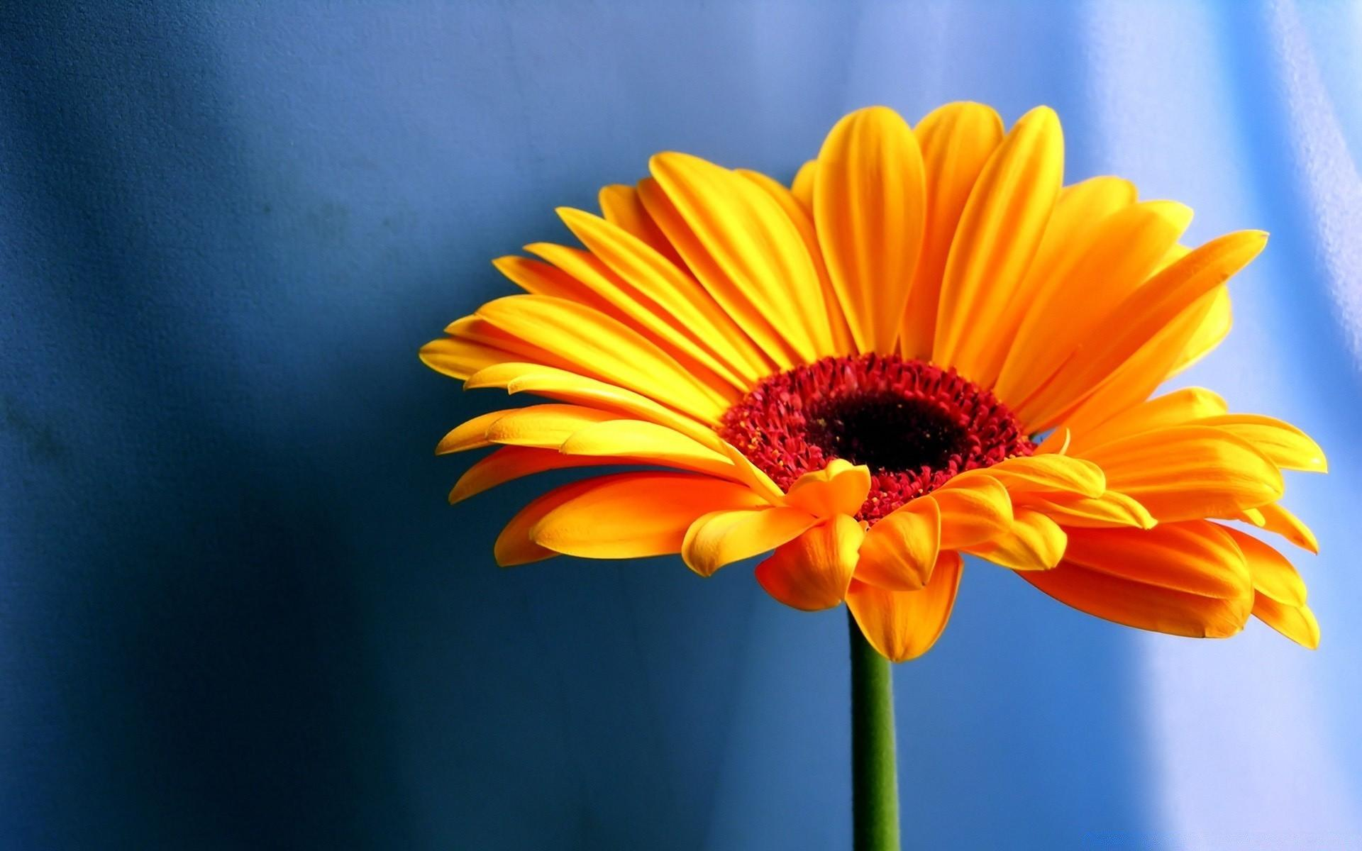free daisy images