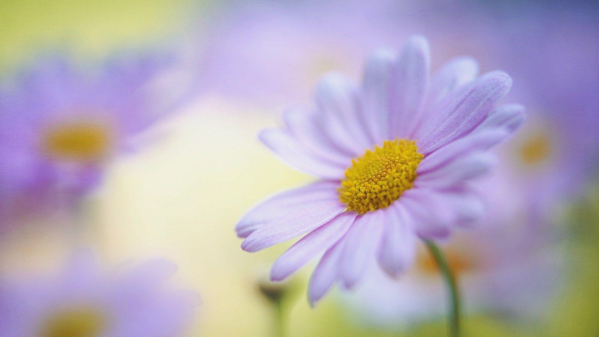 daisy flower image 4k