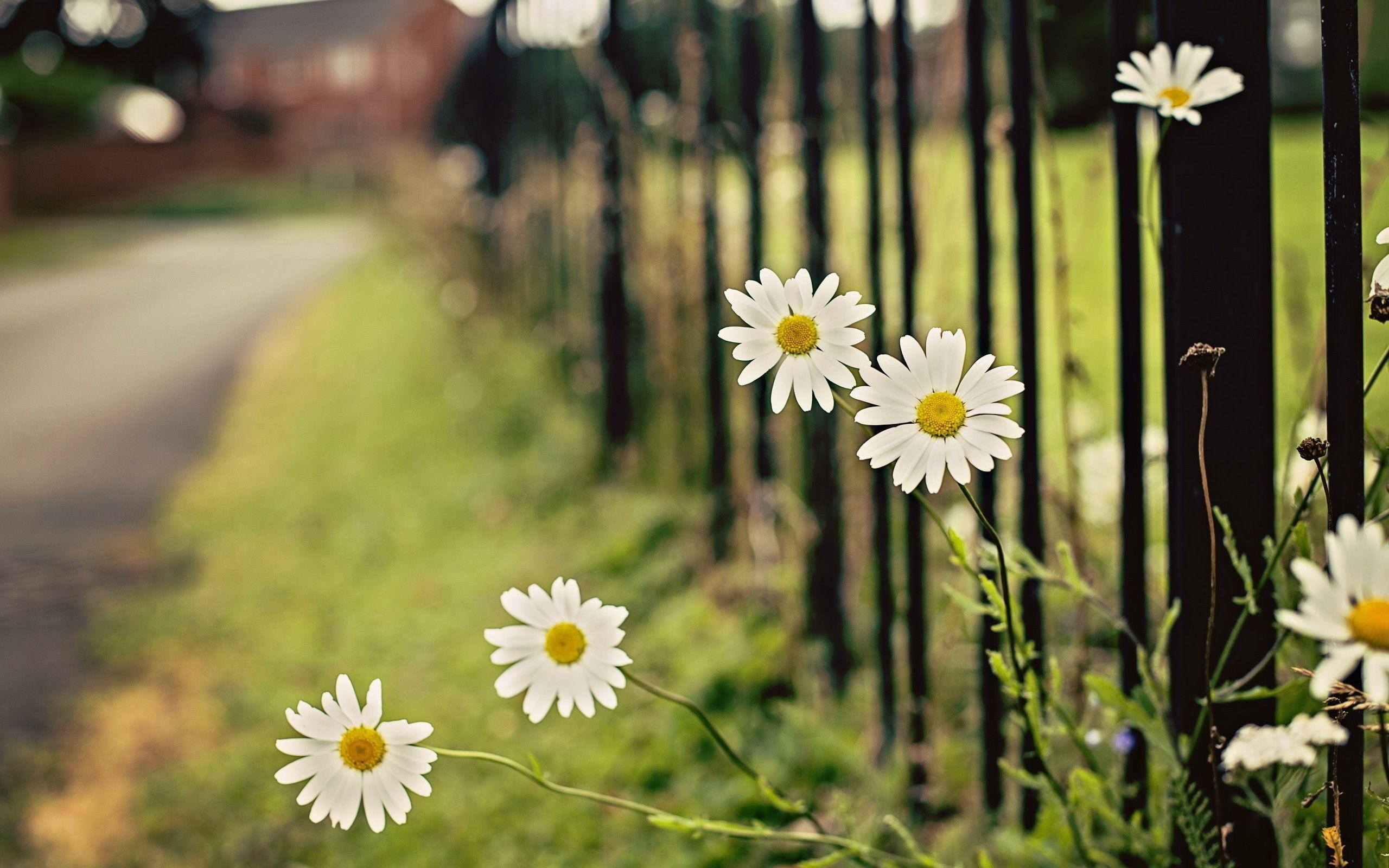 white daisies images