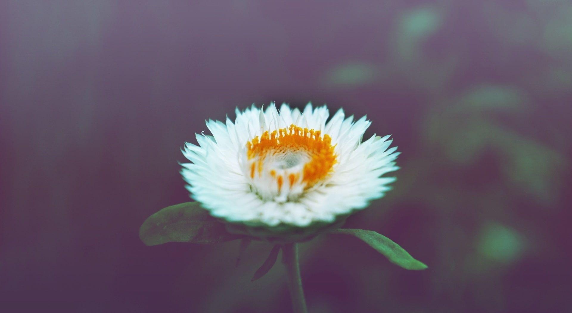 daisy photos 4k