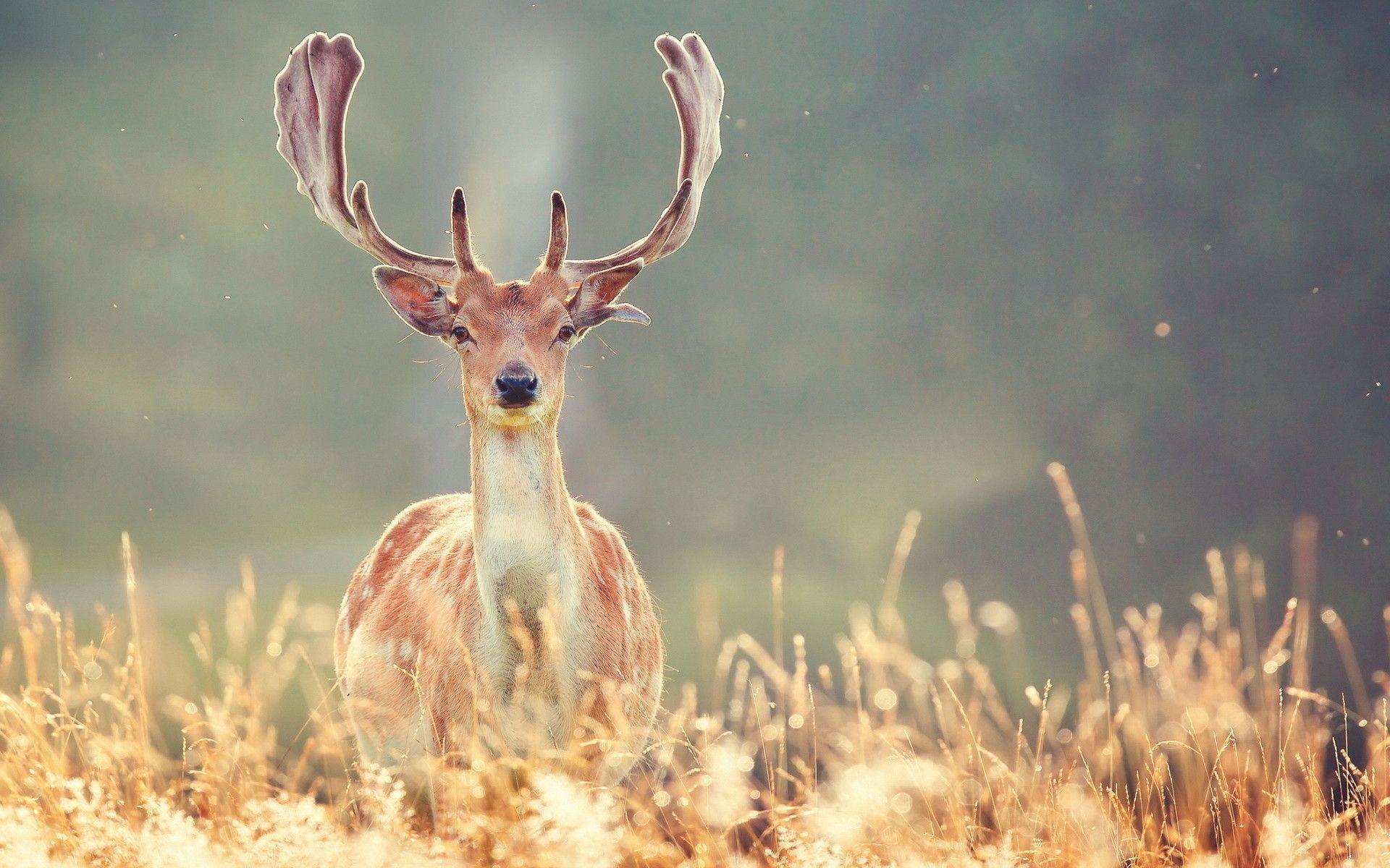 Deer Wallpaper 4k