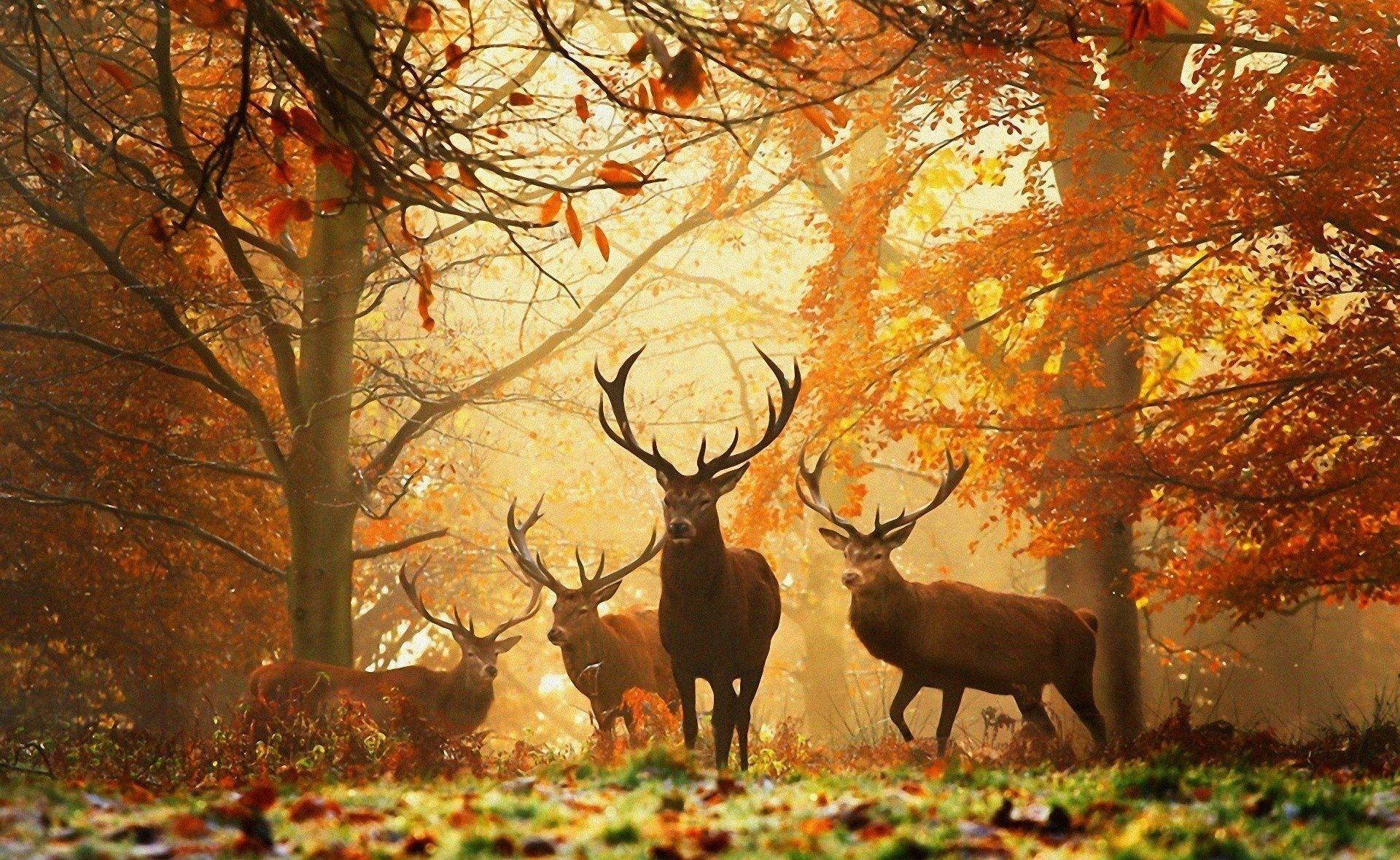 deer wallpapers