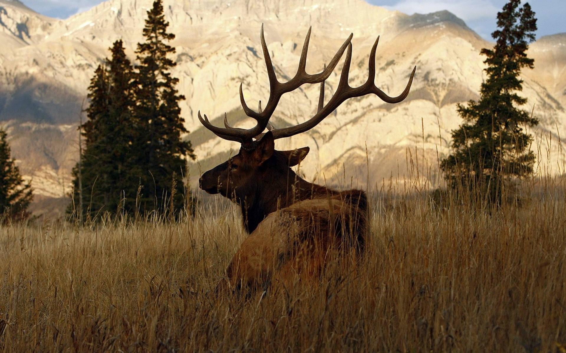 deer backgrounds wallpapers hd