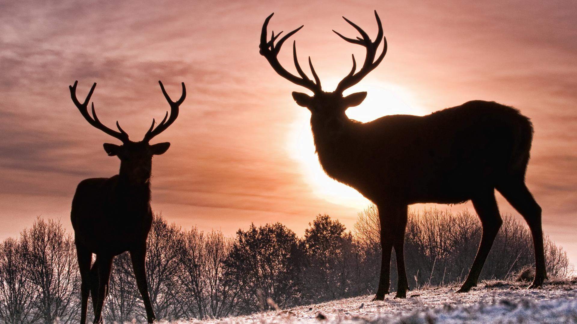 wallpapers deer