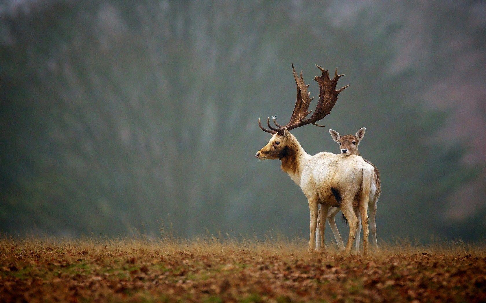 cool deer wallpaper