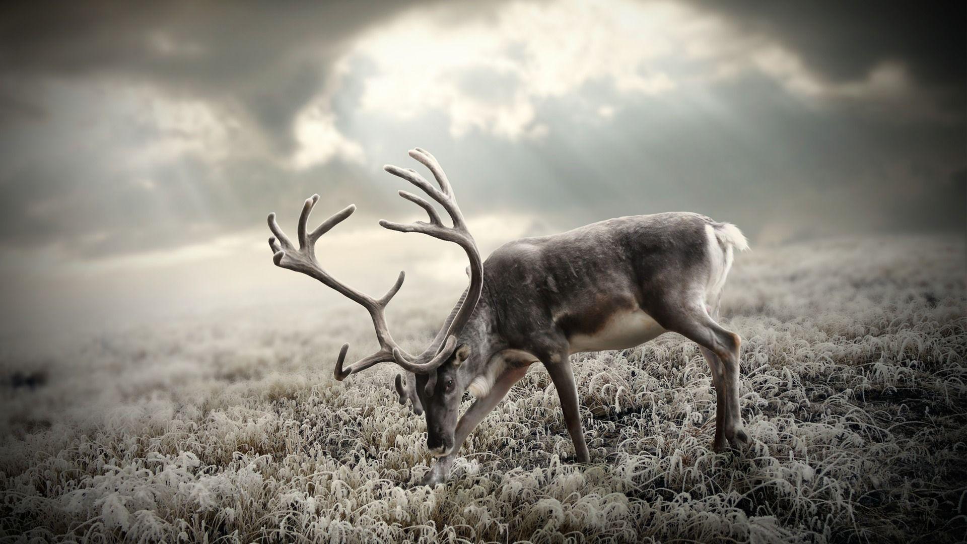 wallpapers of deers