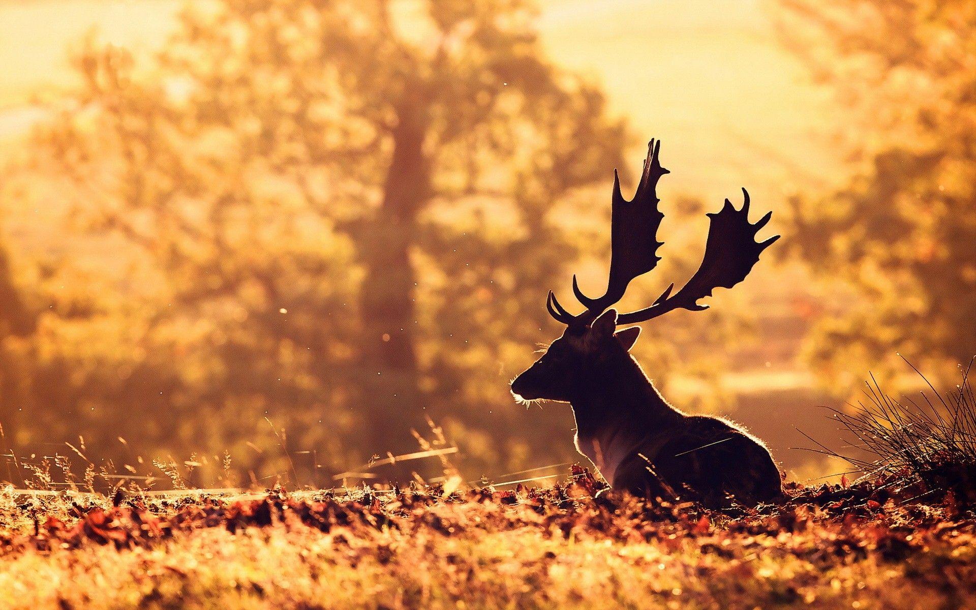 deer wallpapers free