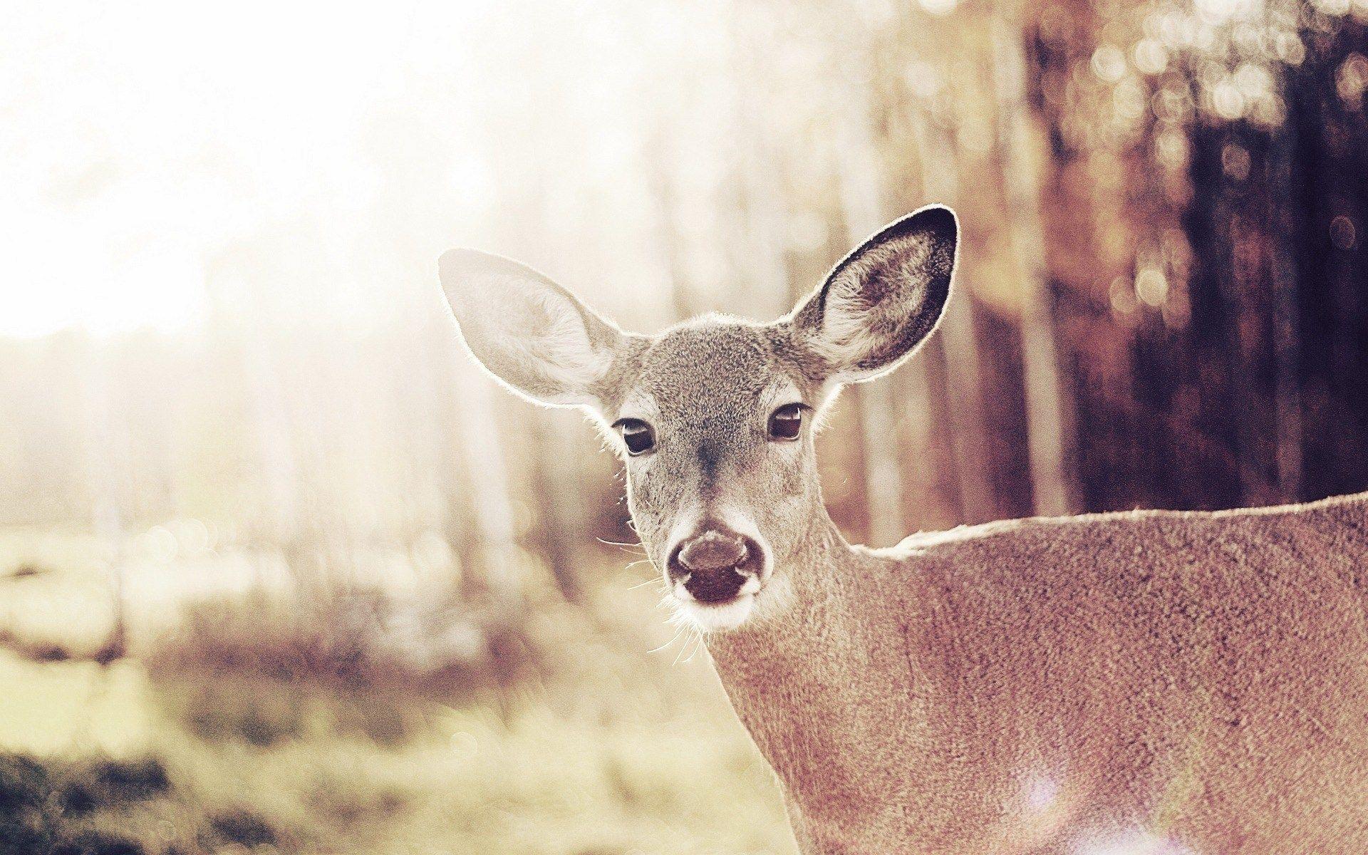 deer iphone wallpaper