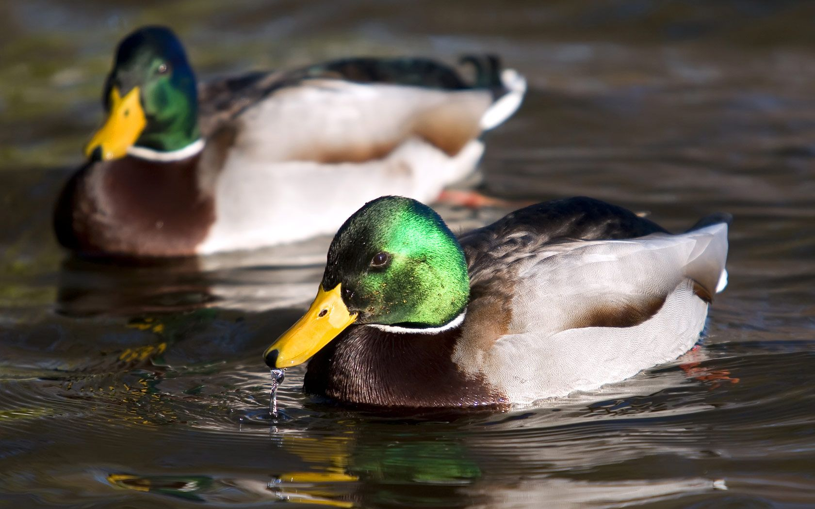 duck pictures
