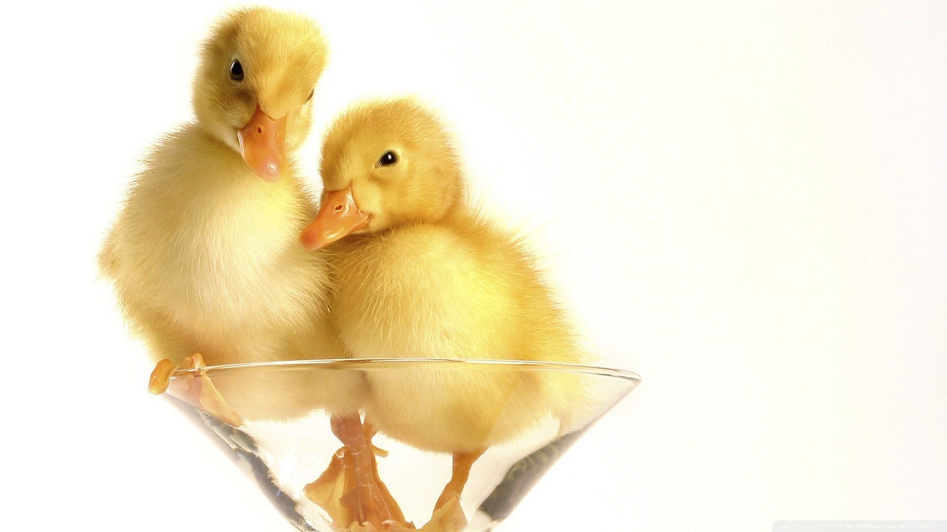 duck pictures free