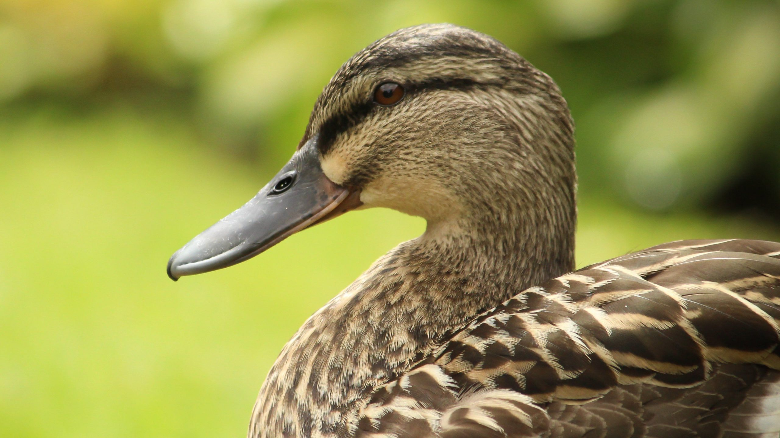 duck images free