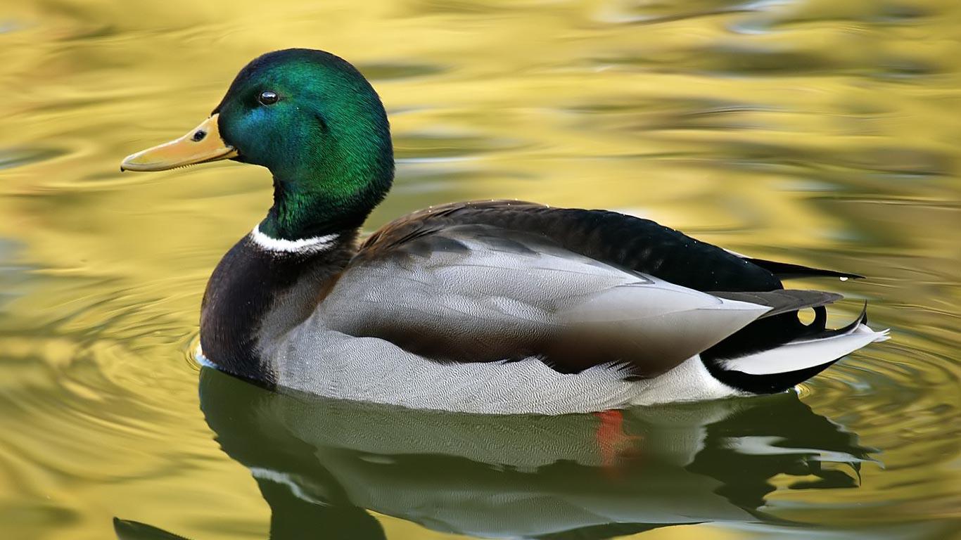 free ducks