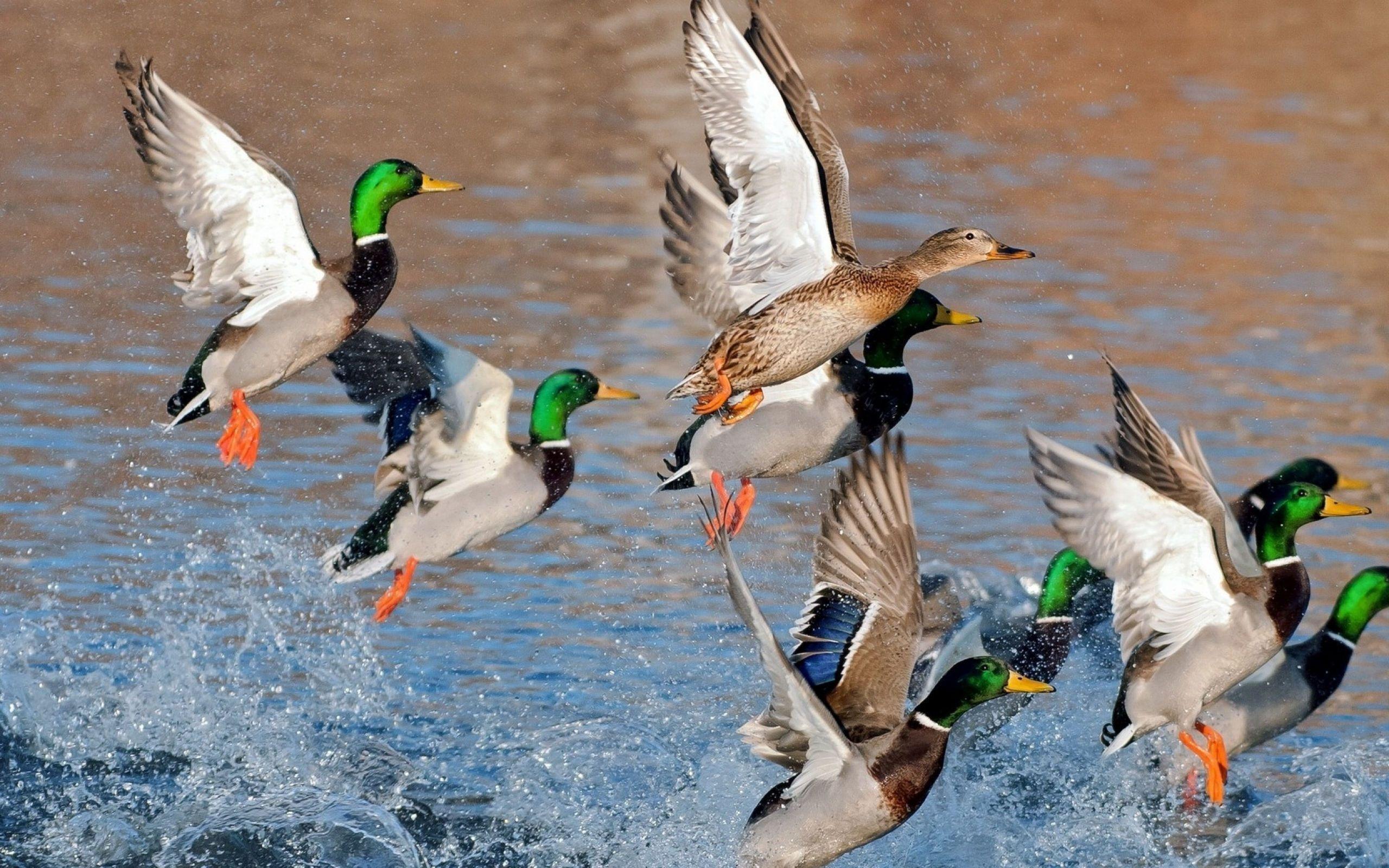 ducking xyz quack