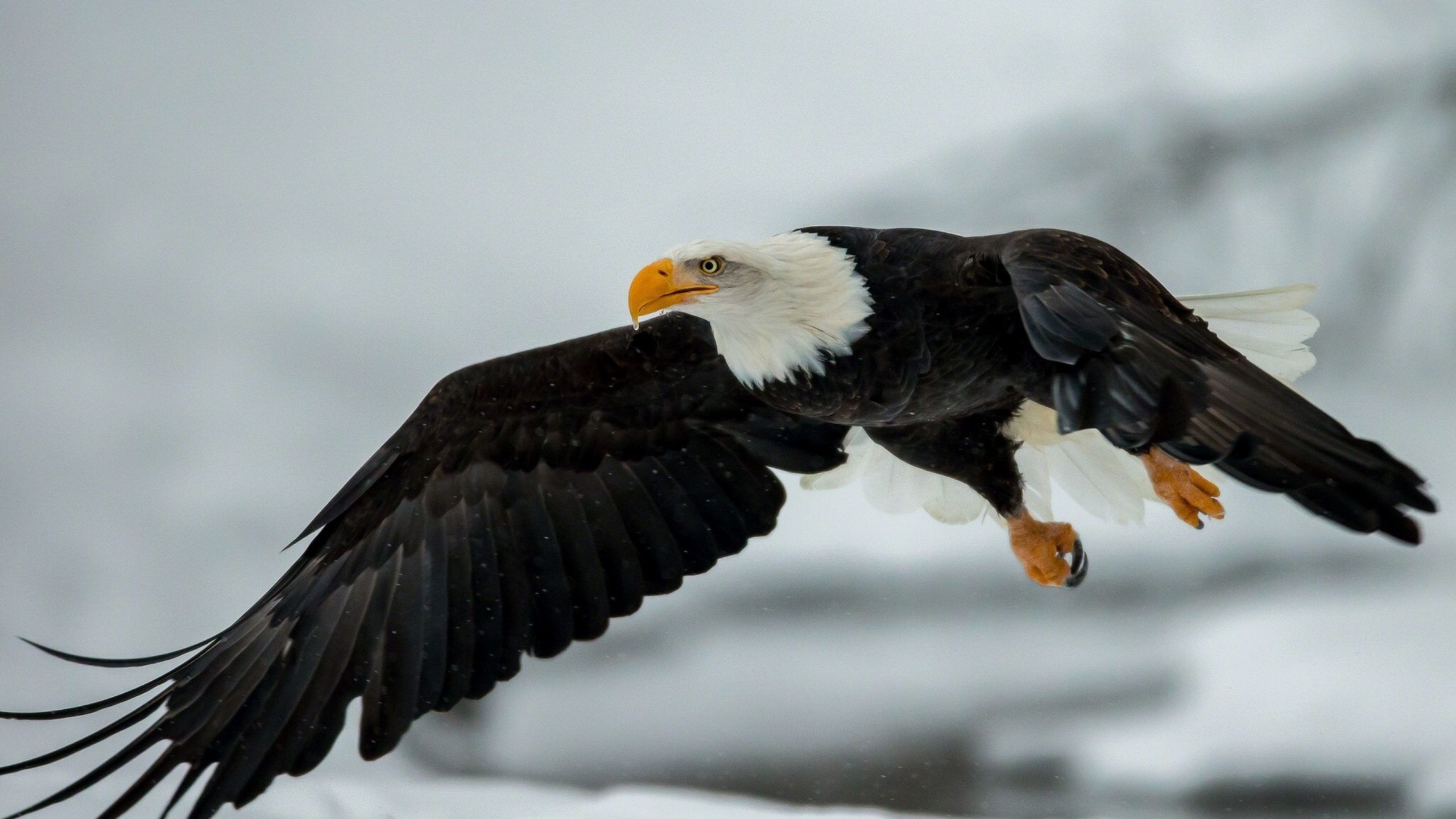 photos of eagle