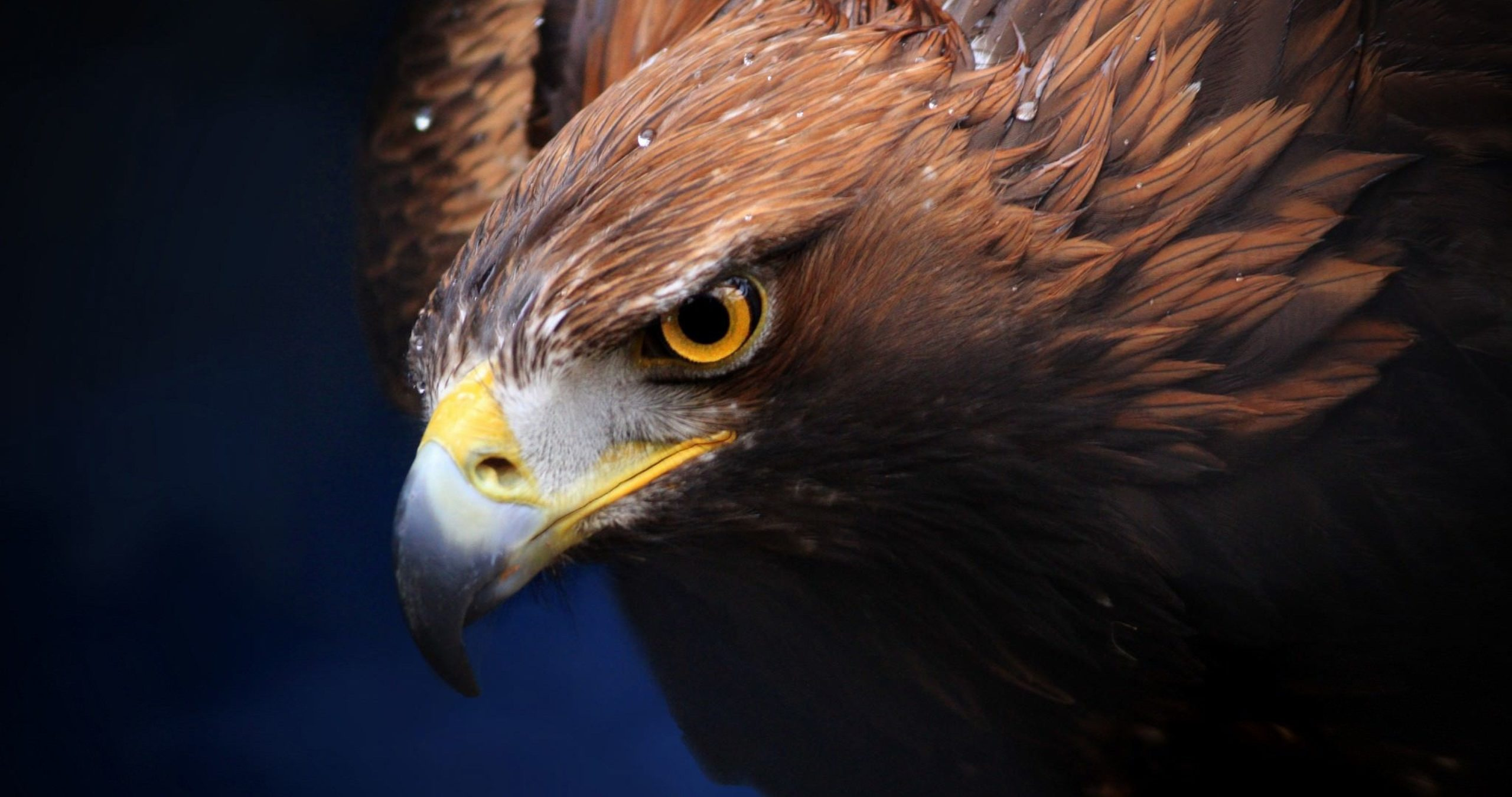 bald eagles wallpapers