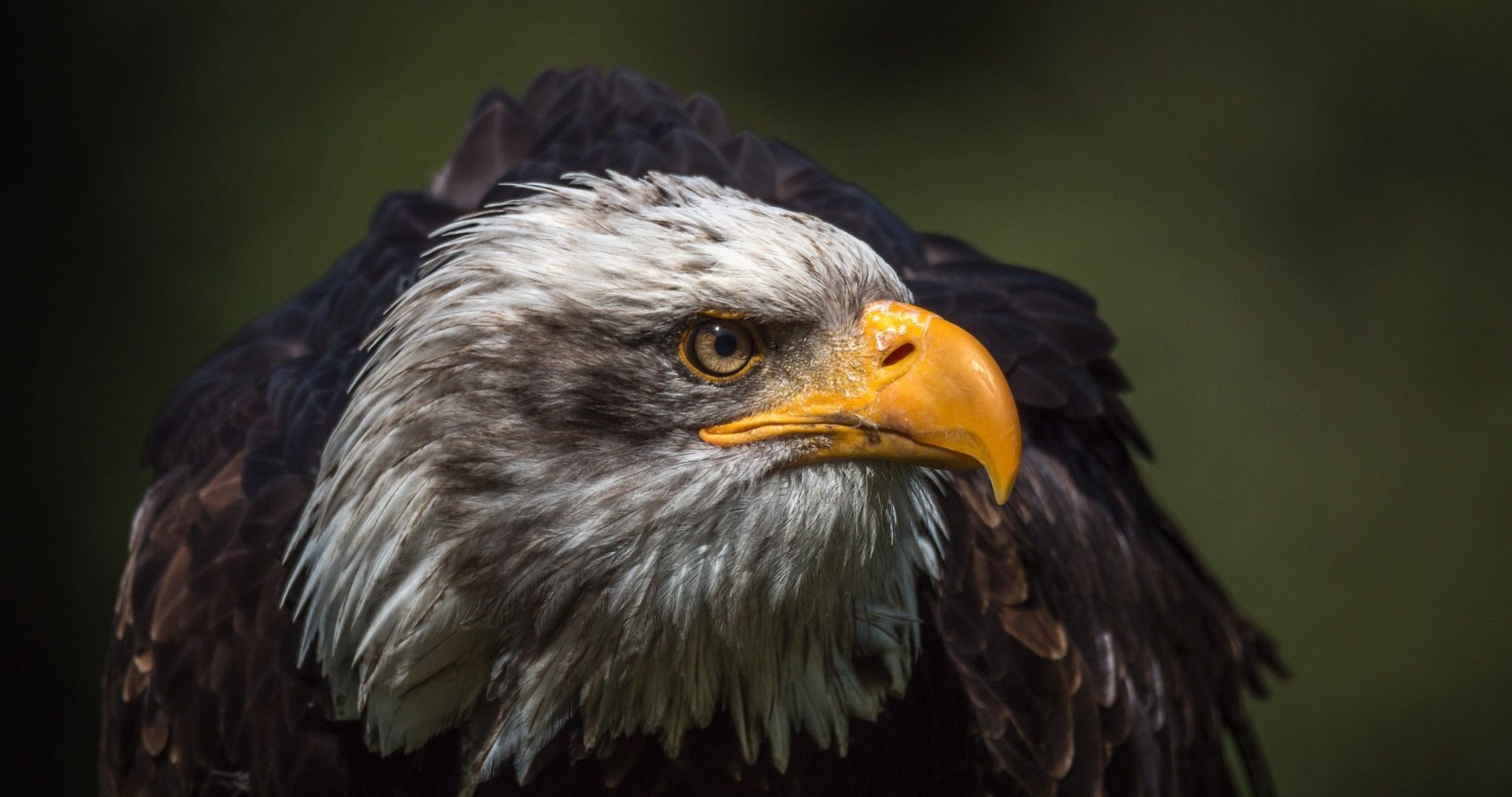 picture of a eagle