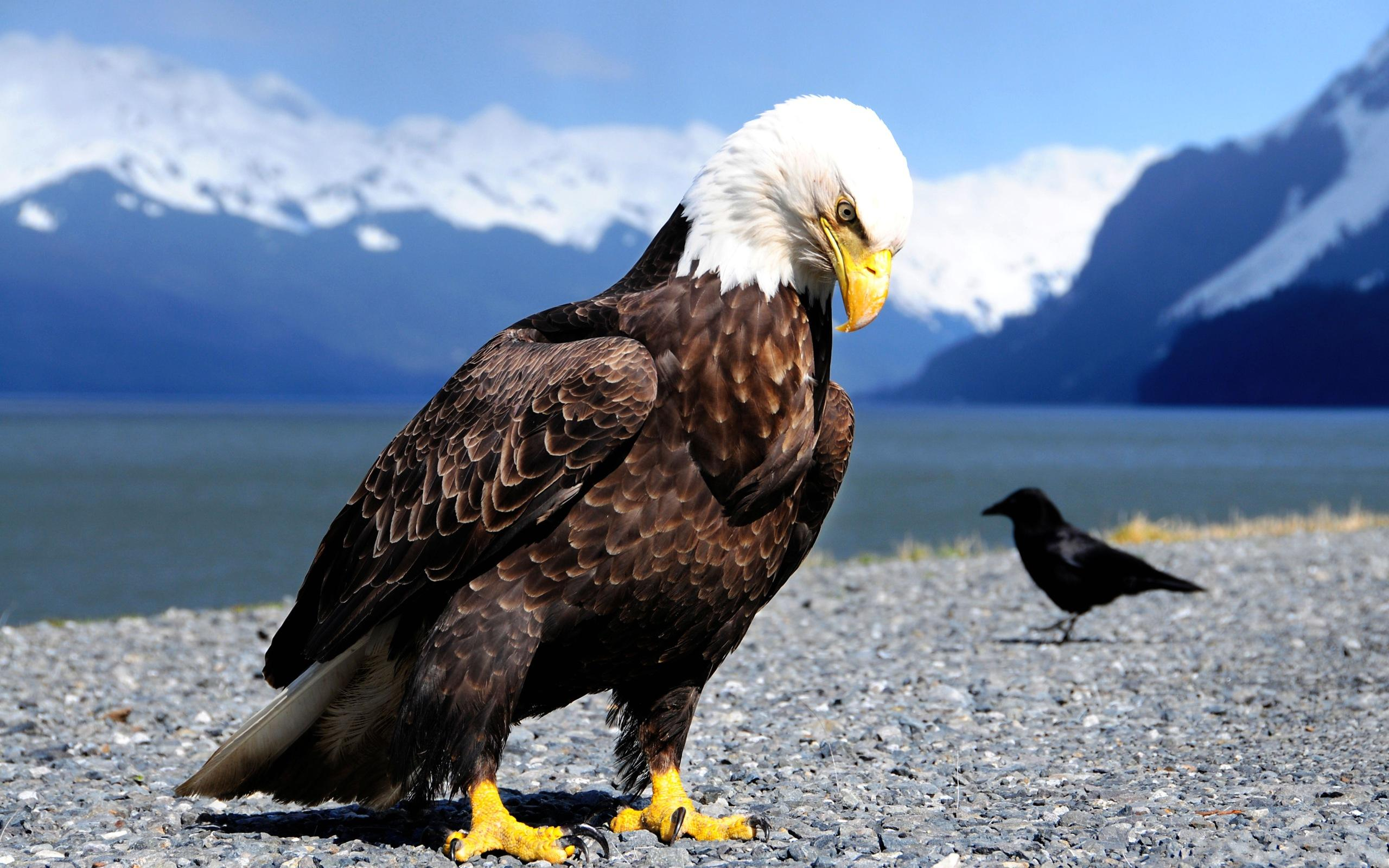 pictures of an eagle