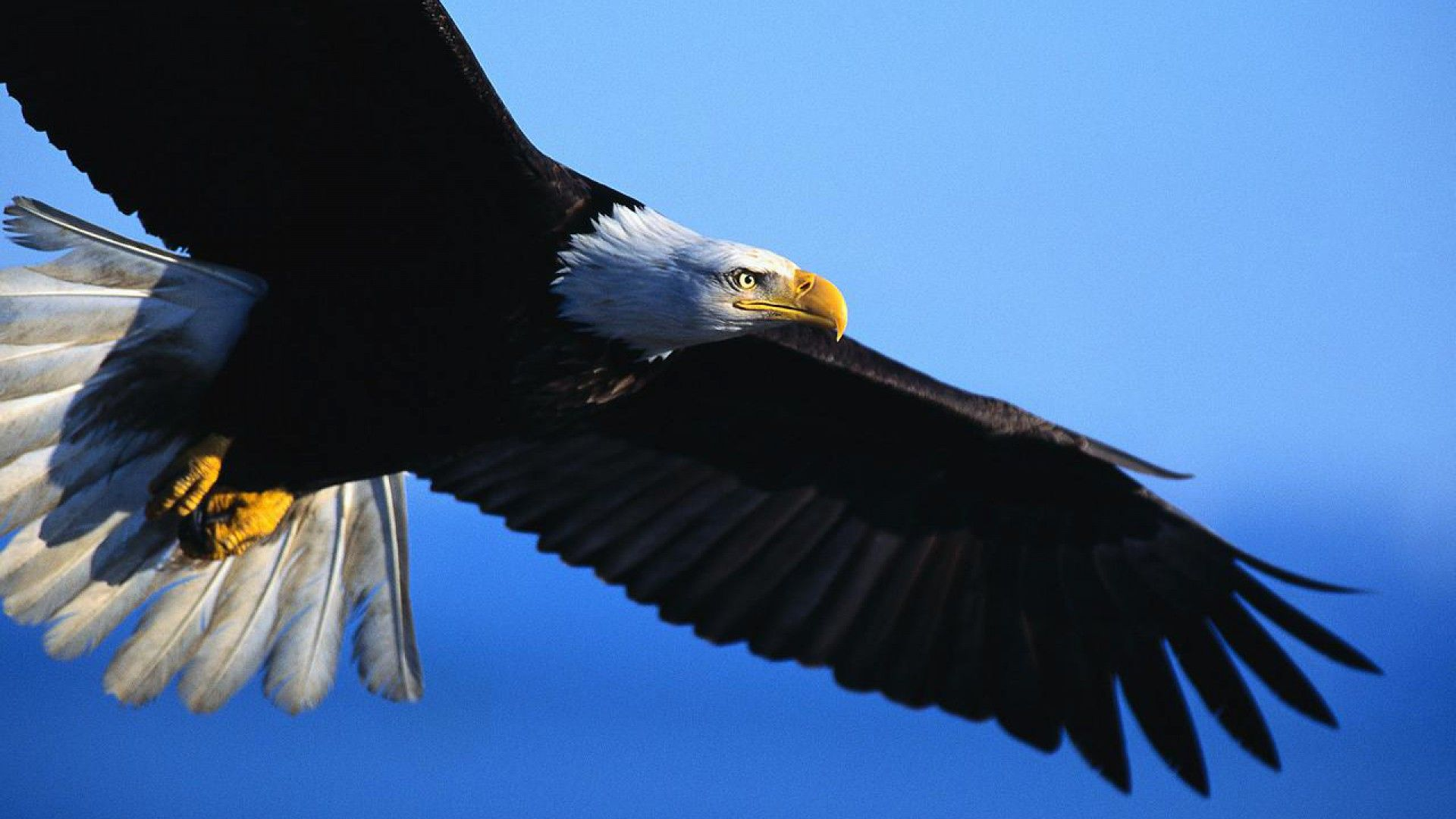 free pictures of eagles