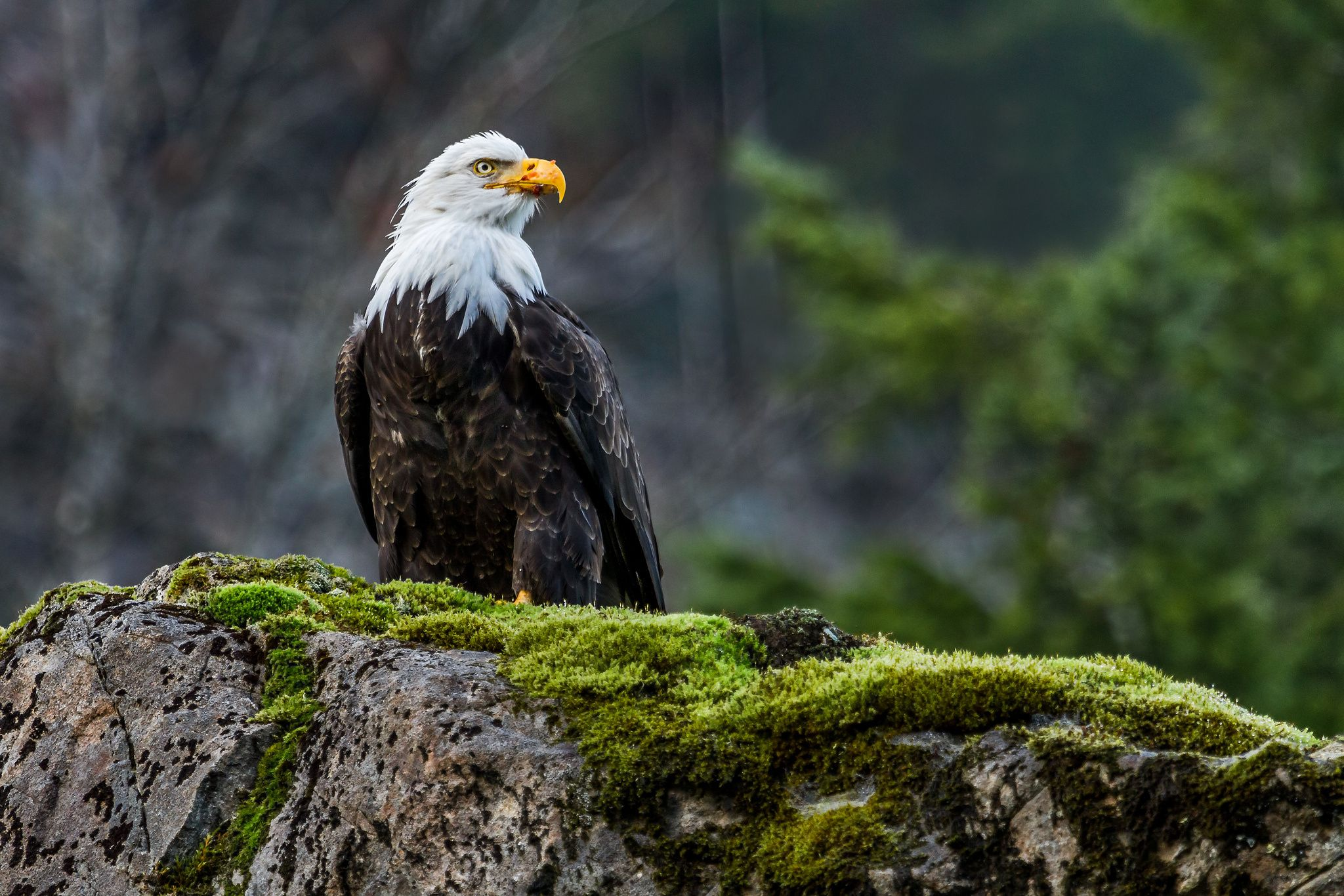 bald eagles pictures free download