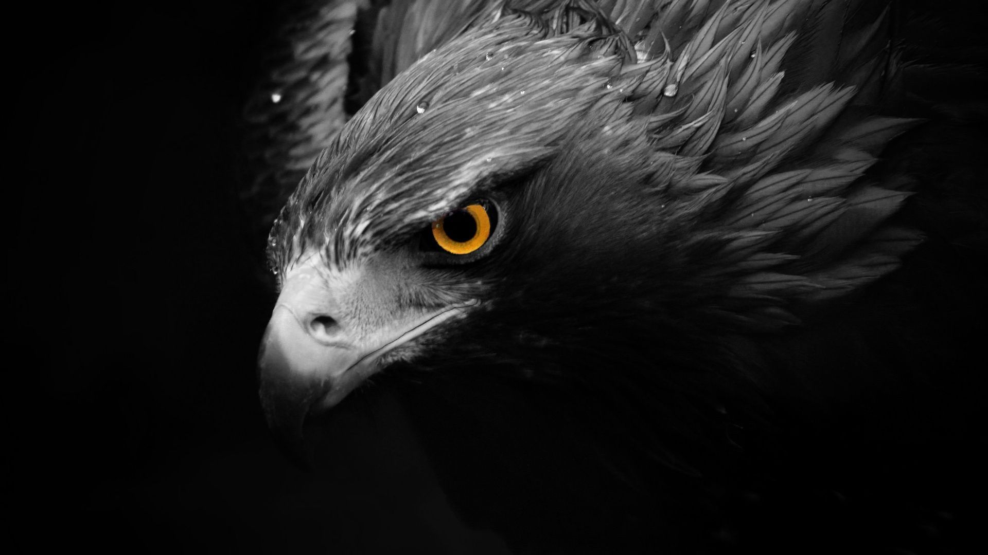 eagle bird images hd free download