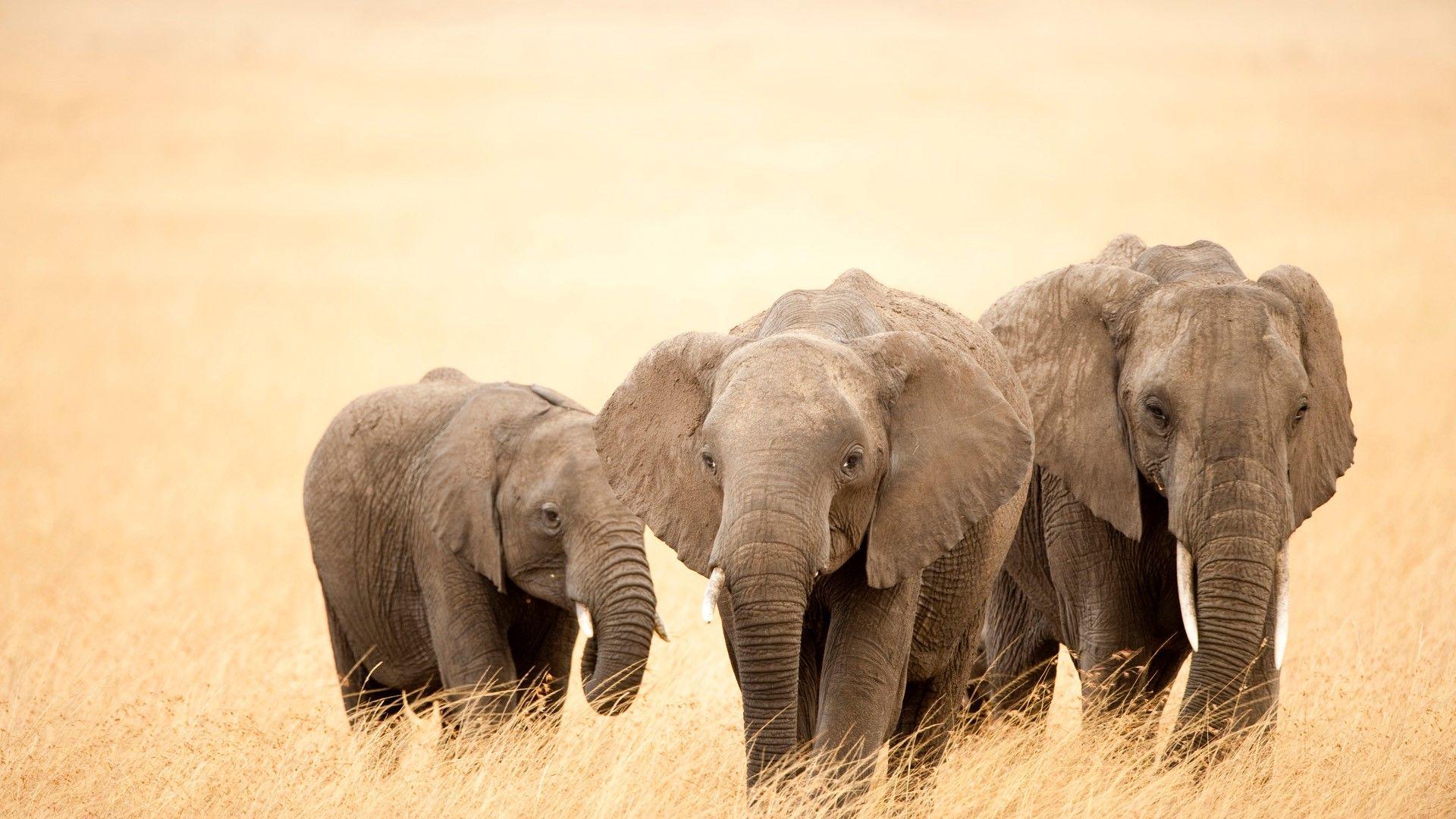wallpapers of elephants
