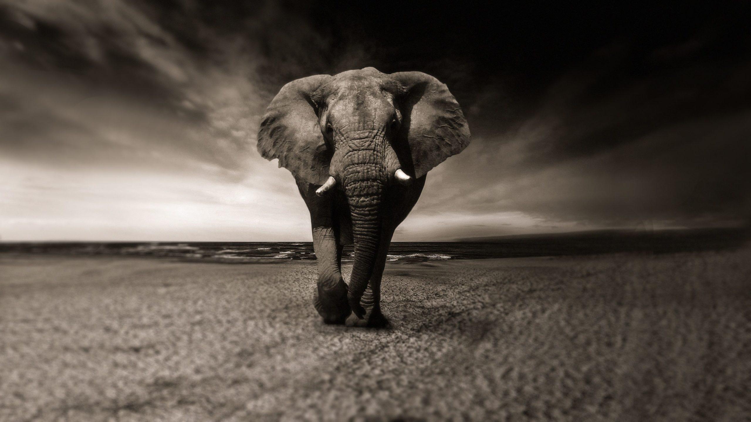 elephant phone wallpaper