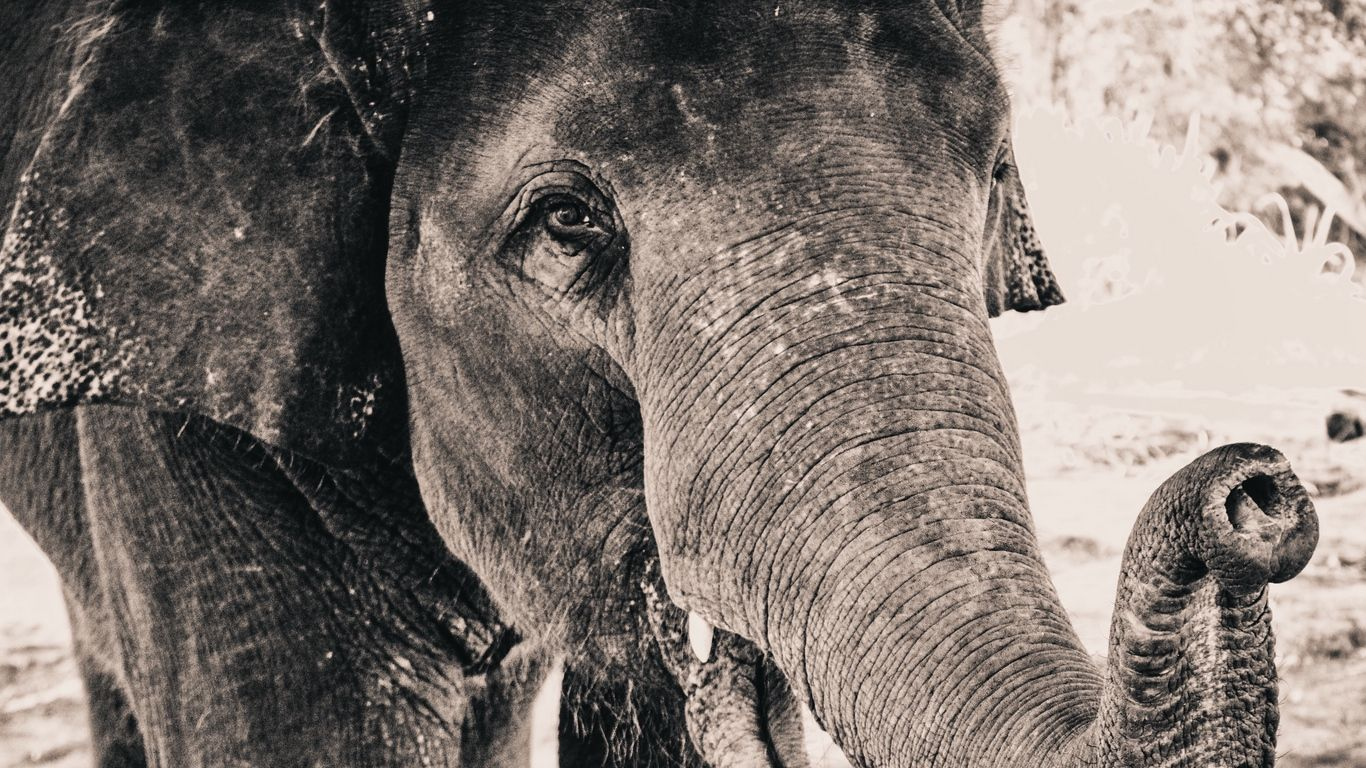 free elephant wallpapers