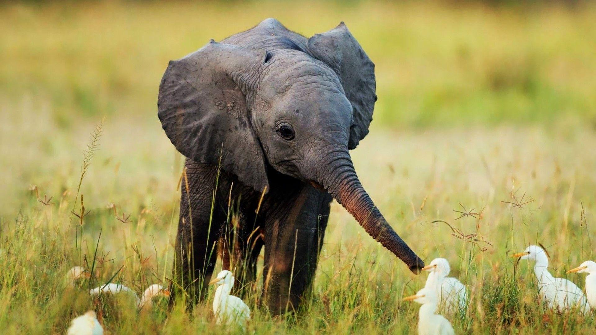 elephant desktop wallpaper free