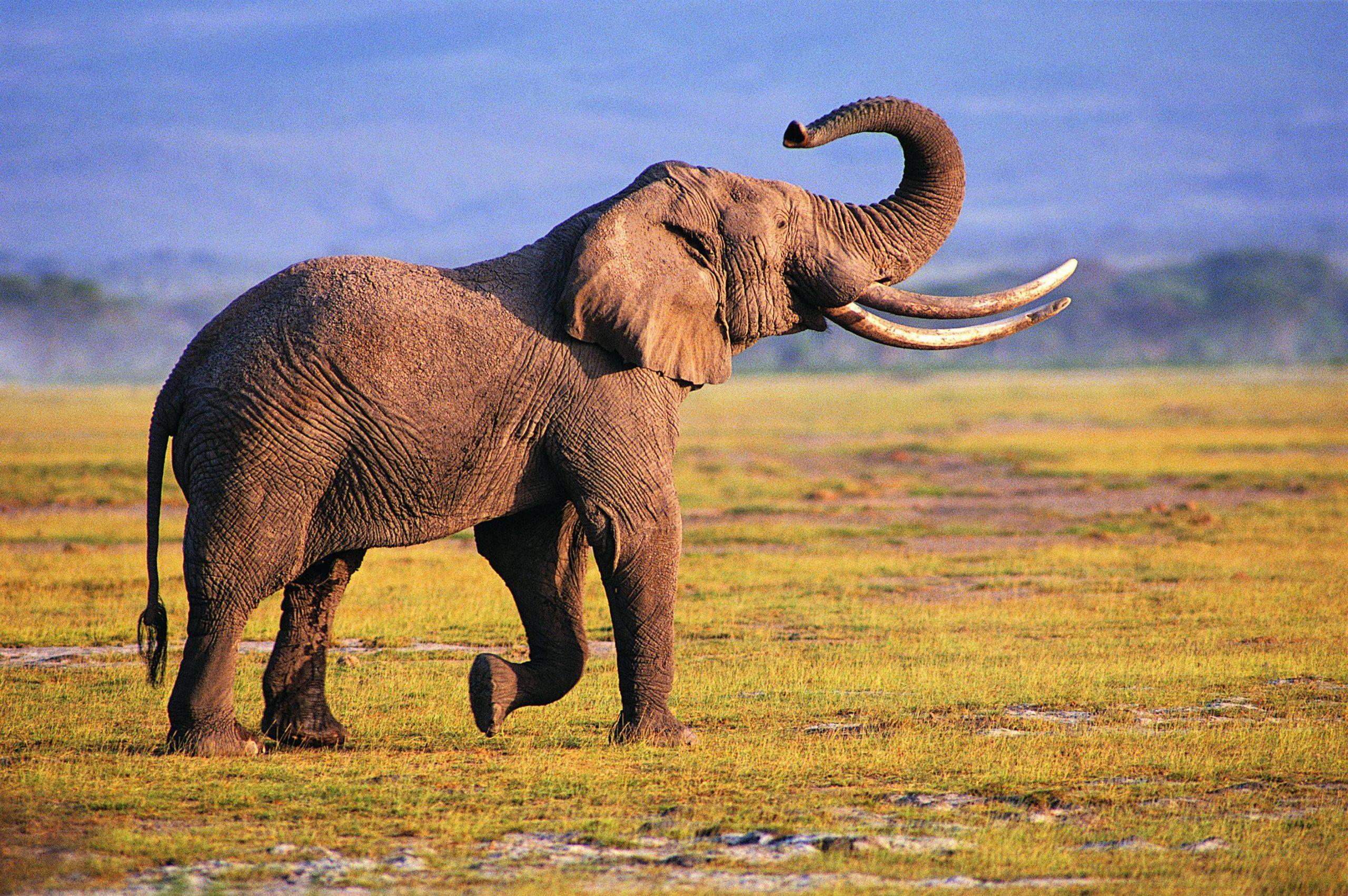 iphone wallpaper elephant