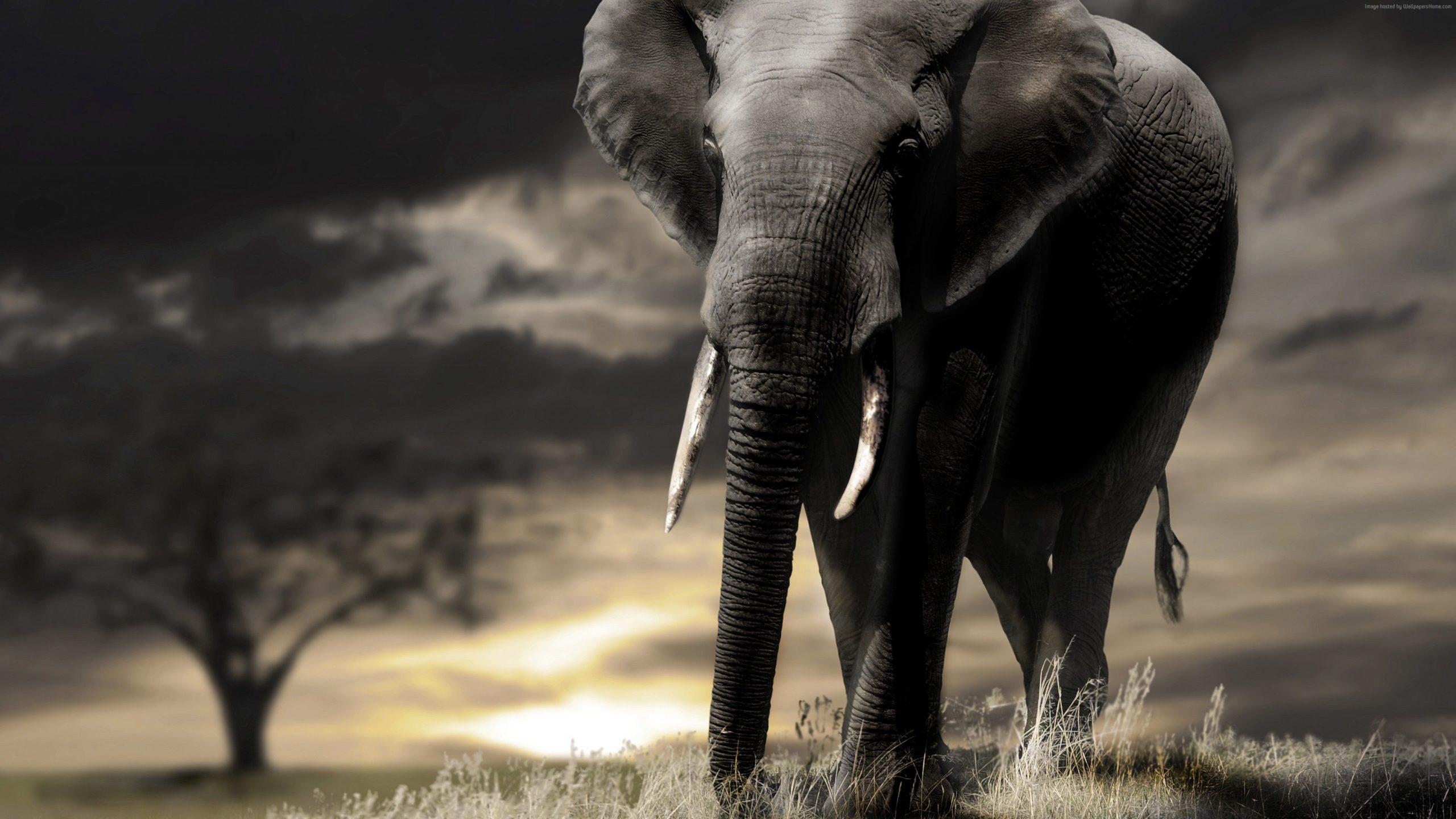 elephant desktop wallpapers hd