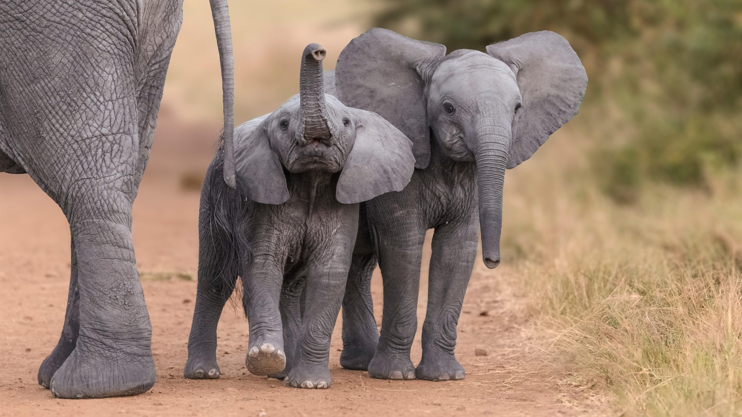 elephant computer wallpaper