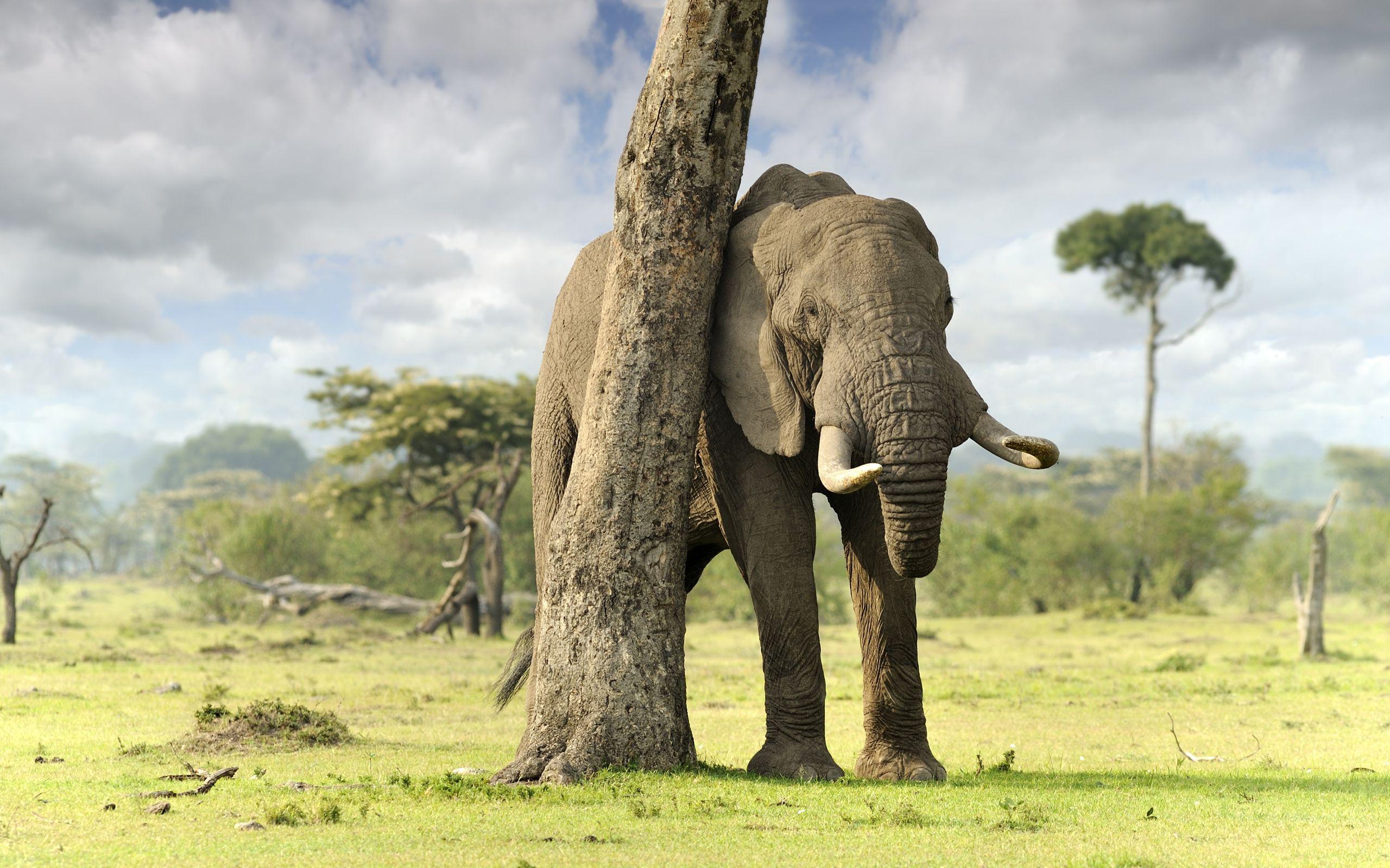 free images of elephants