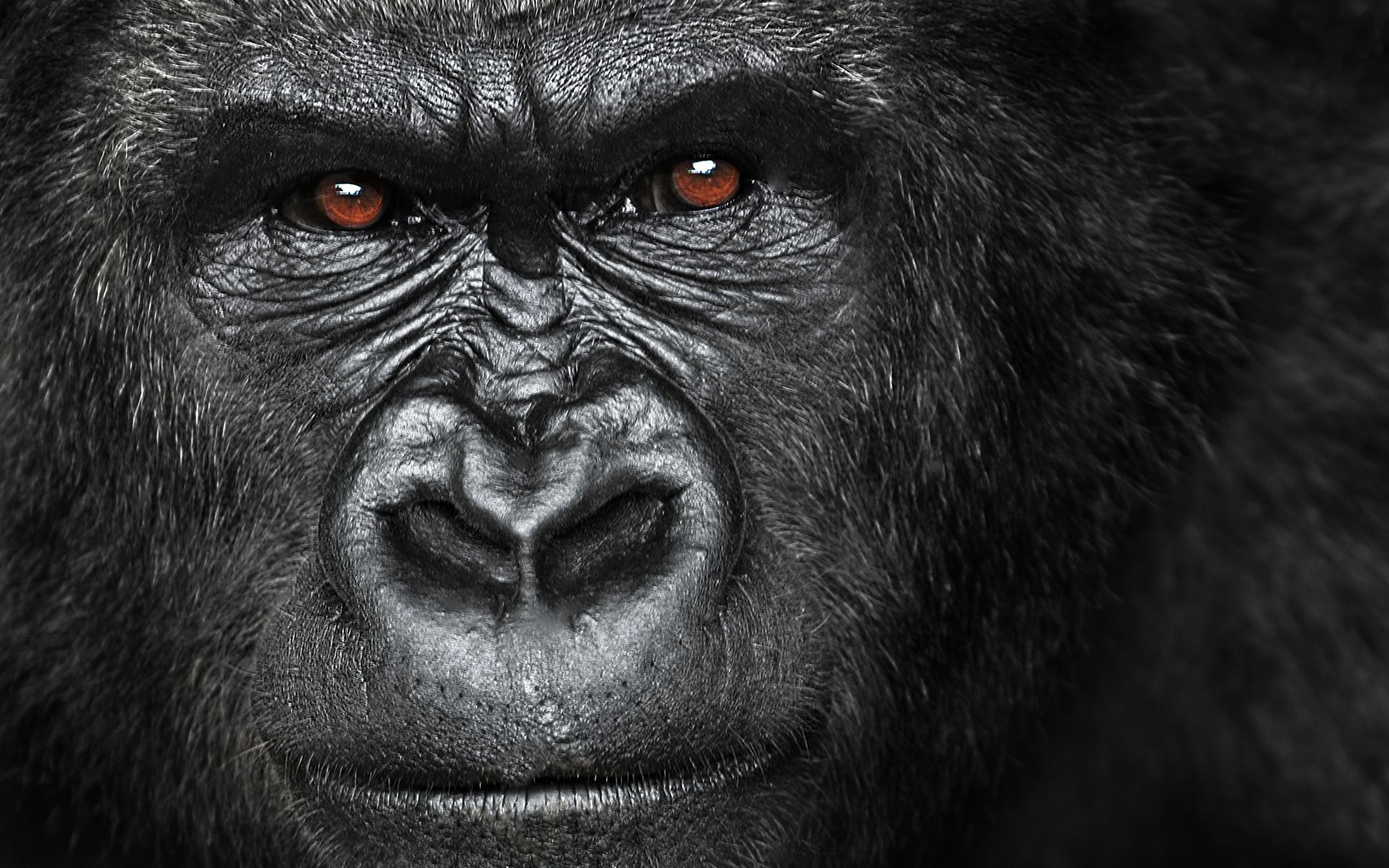 gorilla hd wallpapers, gorilla gorilla